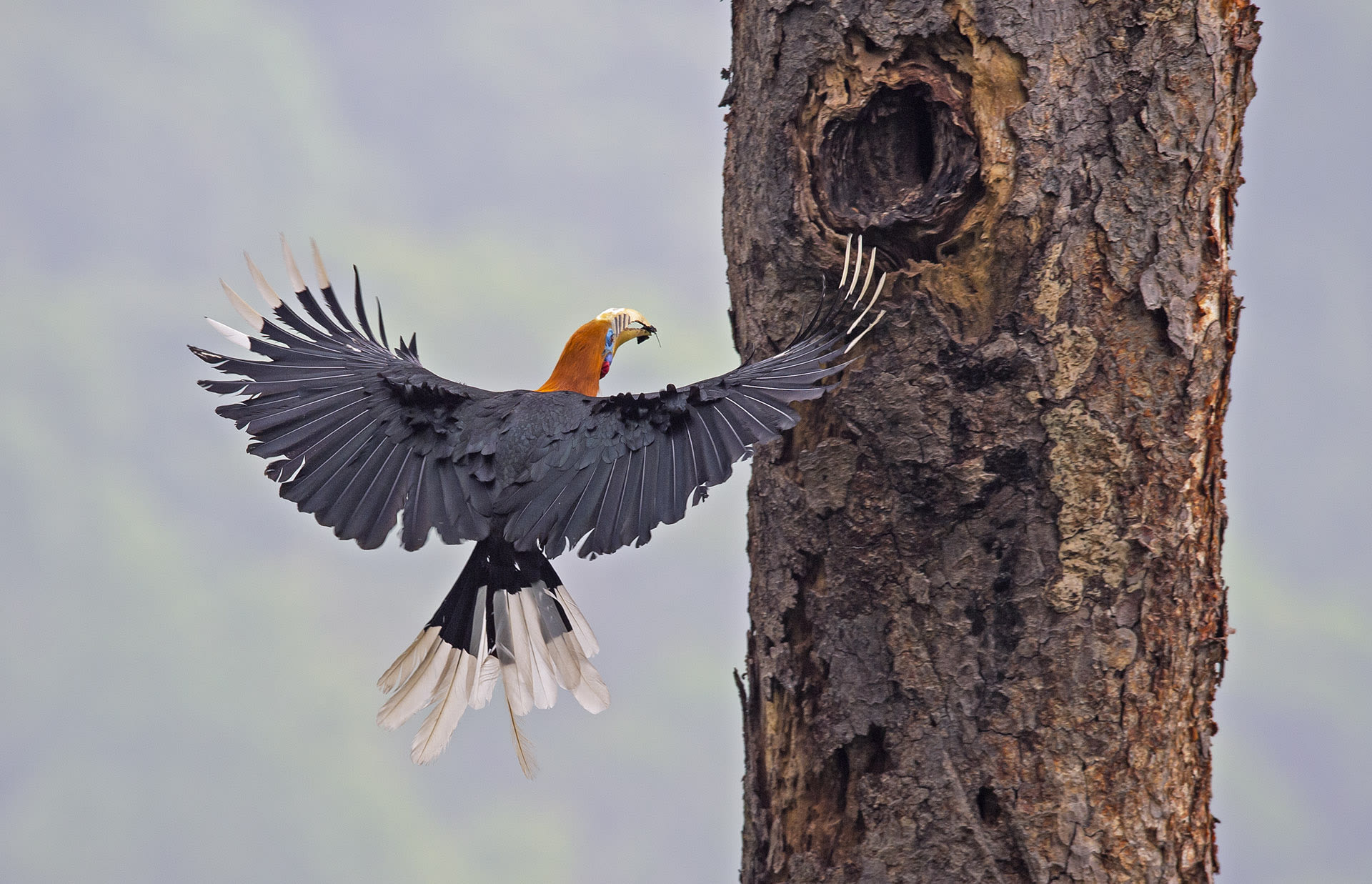 It is the task of the male hornbill to deliver food to the family after the female seals herself in the nest cavity.  Photo: Dhritiman Mukherjee  Cover photo: The rufous-necked hornbill is a medium-sized hornbill that grows up to 120 cm. It is found in some parts of Northeast India at higher elevations. Cover photo: Dhritiman Mukherjee