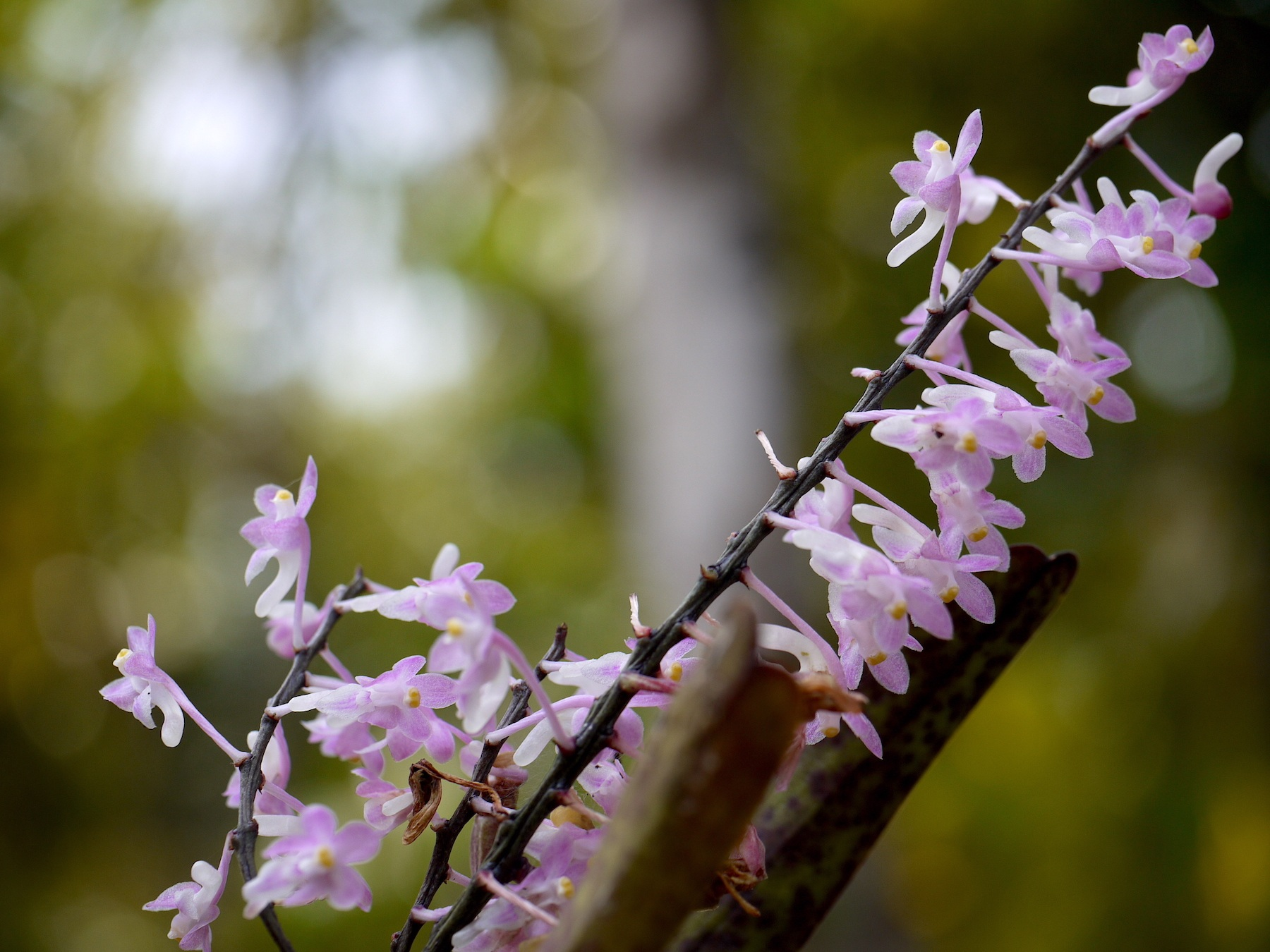 Aerides ringens (Lindl.) Fischer, an orchid that is endemic to the Western Ghats, exhibits multi-branched inflorescence with fragrant flowers in white to dark pink. Photo: Dinesh Valke / CC BY-SA 2.0