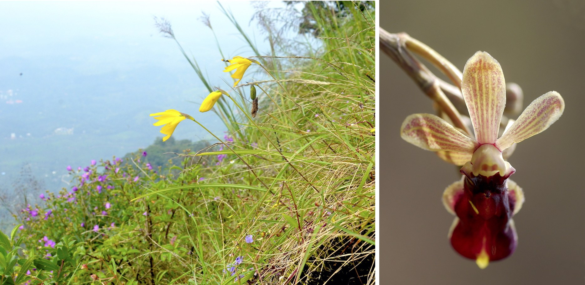 (Left) Ipsea malabarica, also known as the Malabar daffodil was believed to be extinct but was rediscovered in Silent Valley in 1982. (Right) Cottonia peduncularis (Lindl.) Rchb.f. is named because of its long peduncle (flower stalk). It is popularly known as the bee orchid as the flower lip resembles a bee to attract male bees and help in pollination.  Photos: Jis Sebastian (left), Dinesh Valke / CC BY-SA 2.0 (right)