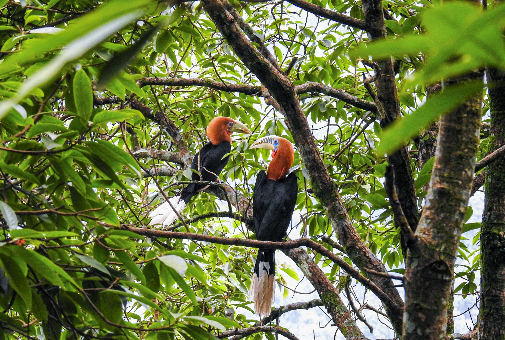 Community protection for the rufous-necked hornbill in Latpanchar provides a safe haven for this magnificent species which is threatened by hunting and habitat loss throughout its range. Photo: Parag Gurung