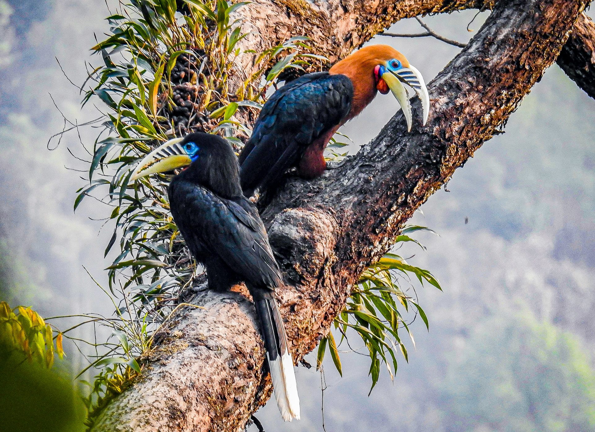 Rufous-necked hornbills are sexually dimorphic. Males sport reddish-brown plumage on the head, neck and underparts, while the female mostly wears black. Photo: Parag Gurung