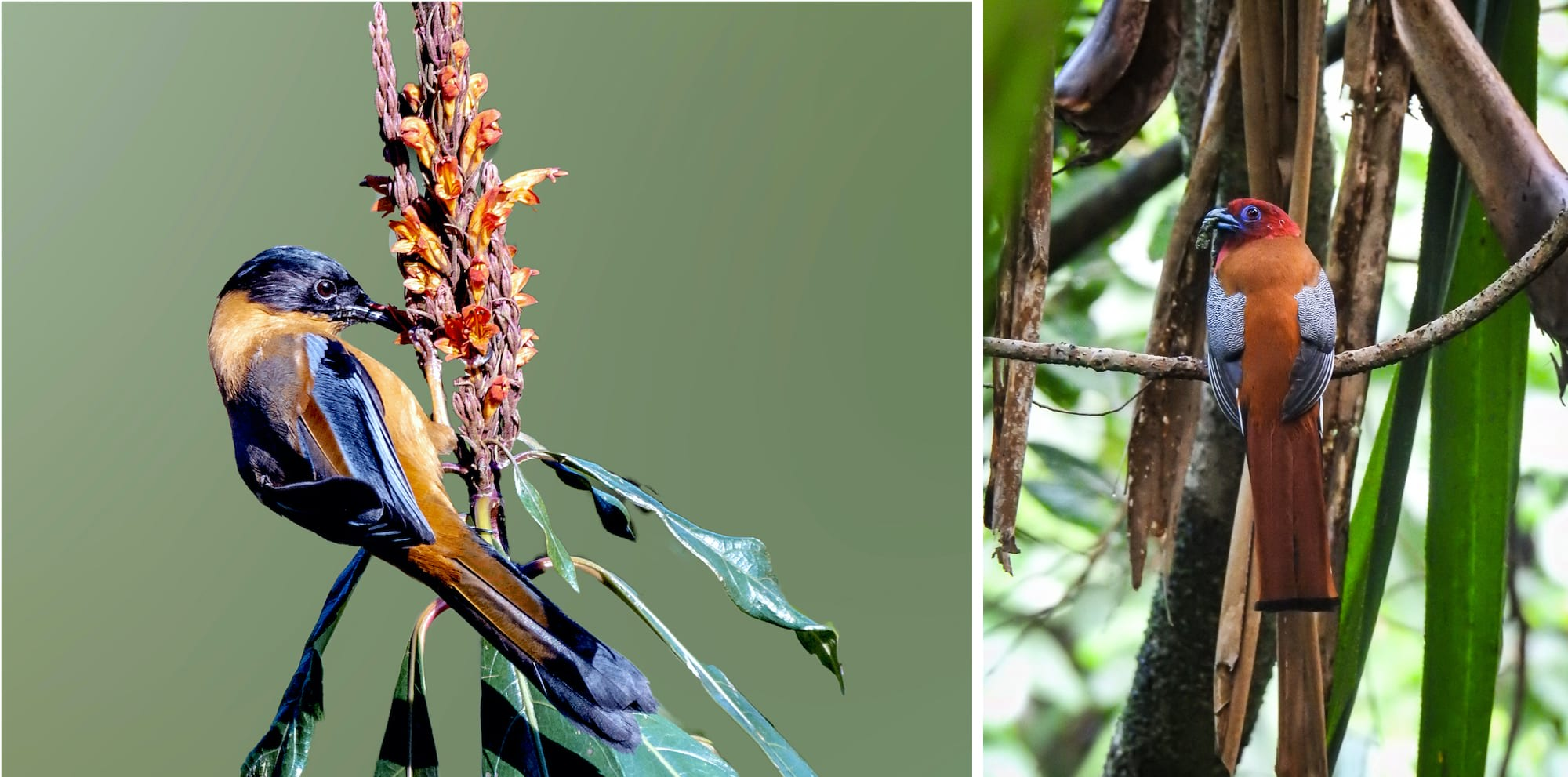 (Left) Bird enthusiasts have recorded the rufous sibia with its gorgeous blue wingtips in Latpanchar. (Right) Red-headed trogons have often been spotted and photographed within the village as well. Photo: suvro06/Shutterstock (left), Parag Gurung (right)