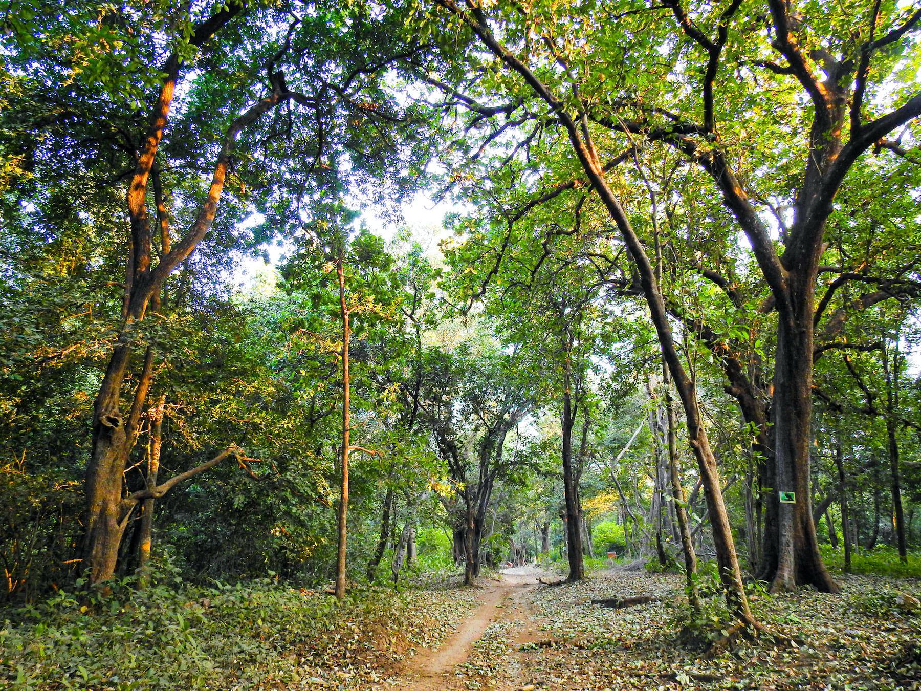 The tropical dry deciduous forest of Sitamata Sanctuary is a pleasure to walk through in any season. Much of the forest floor is blanketed in gently decomposing leaf matter, while the canopy is thick with green leaves. Photo: Dr Sumit Dookia