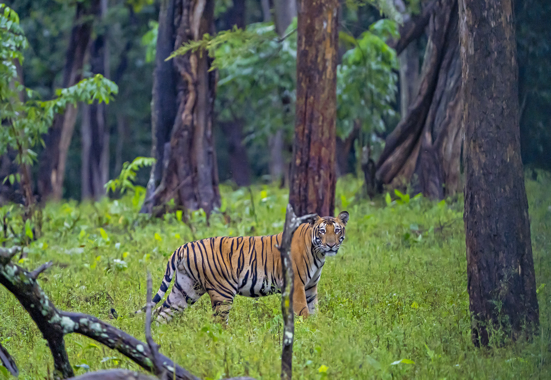 Estimates say that Nagarhole has about 110 adult tigers. Yet, spotting the big cat is always a matter of chance.