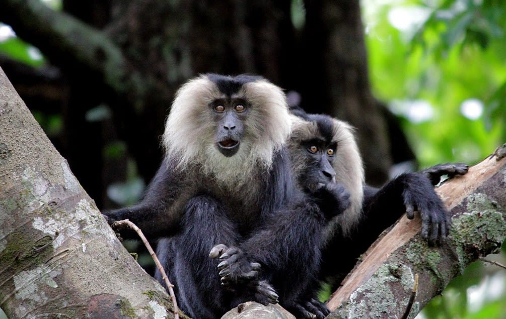 The Sharavathi Wildlife Sanctuary is an important habitat for the lion-tailed macaques.  Photo: Rison Thumboor/Wikimedia Commons.  Cover Photo: A picture of the river Sharavathi. Cover Photo: shashank.sn/Shutterstock