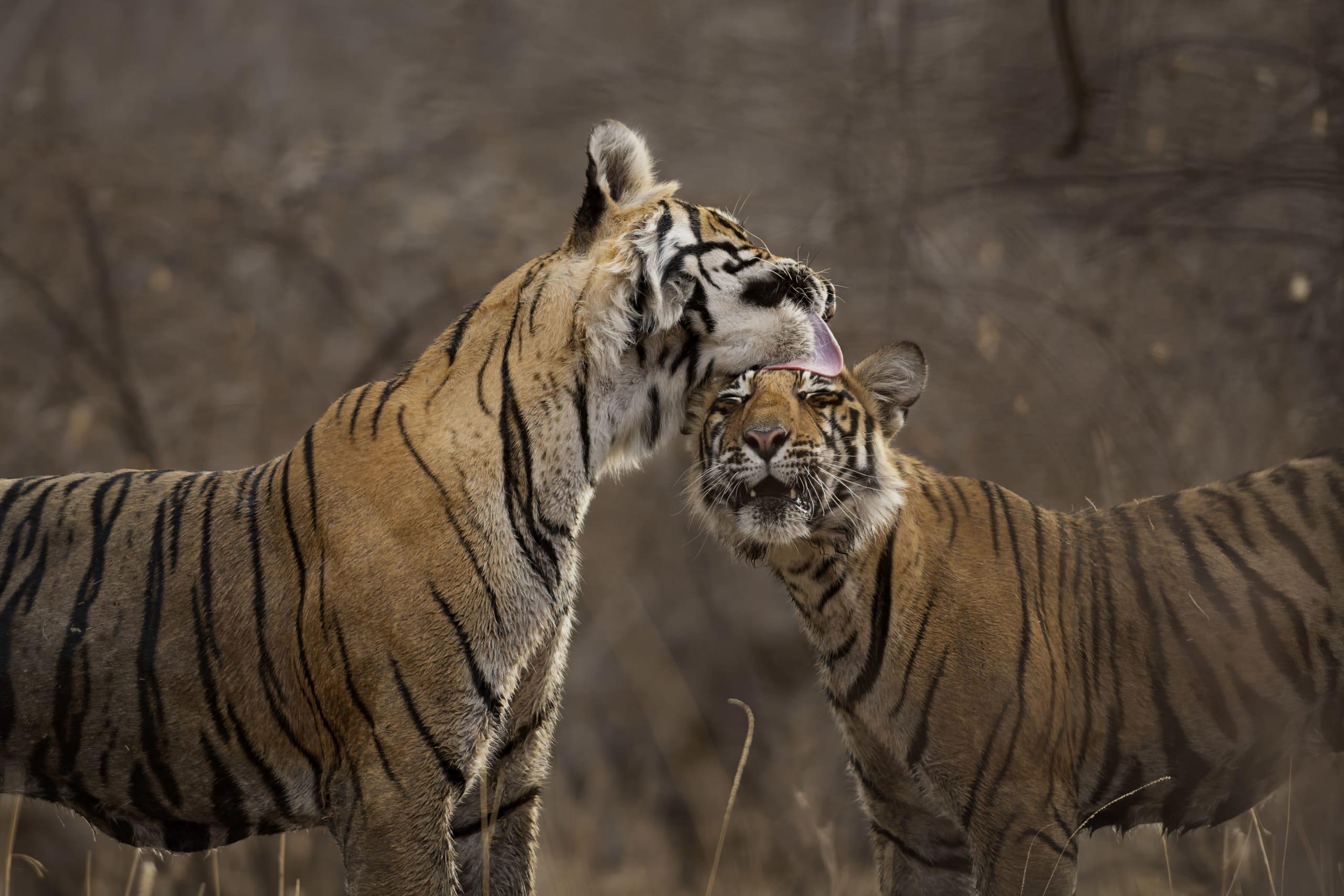 Krishna and her sub-adult cub at Ranthambore National Park. Photo: Pallavi Laveti, May 2018