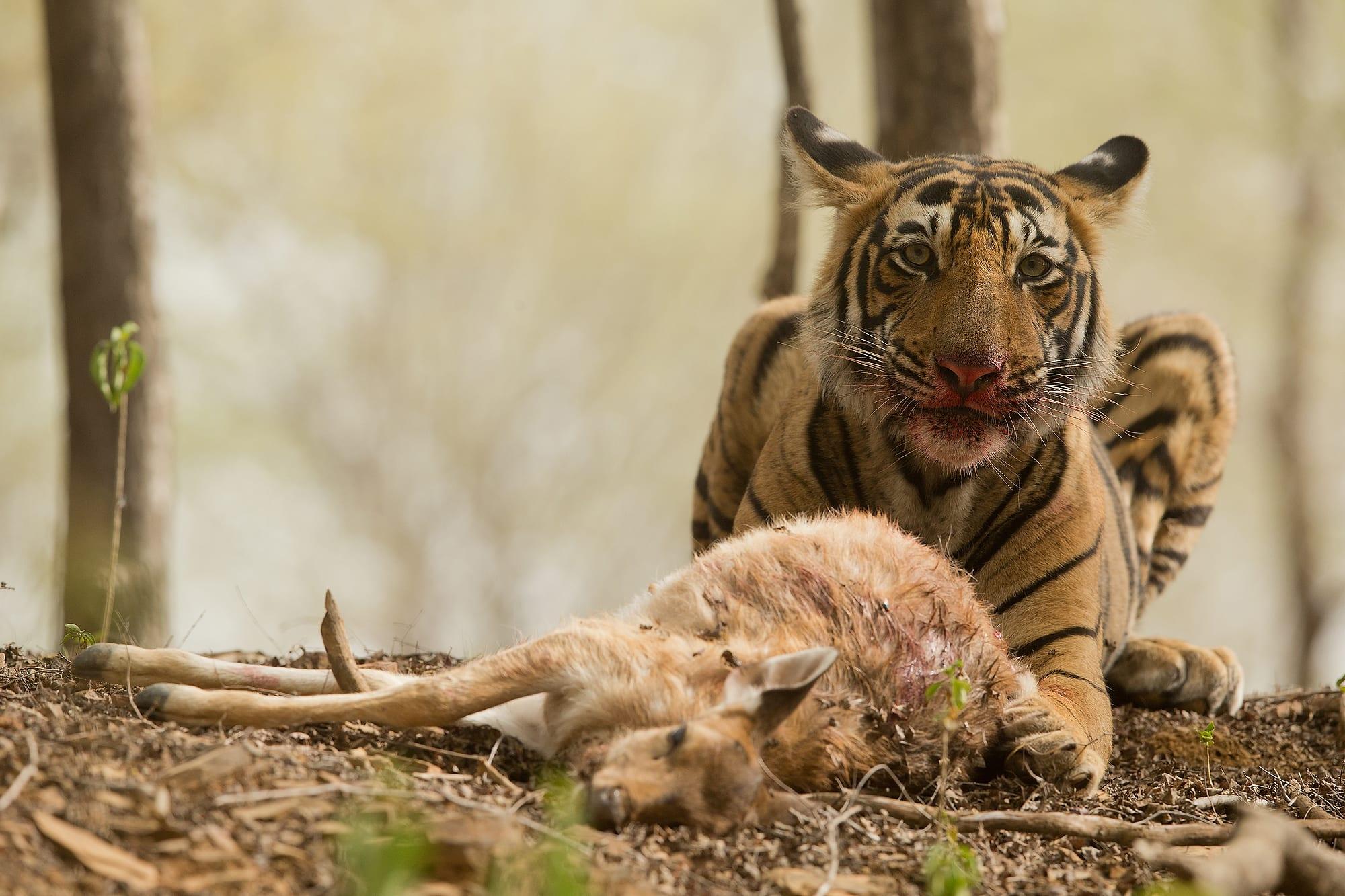 A sub-adult tiger's first kill at Ranthambore National Park. Photo: Shivang Mehta, 2015