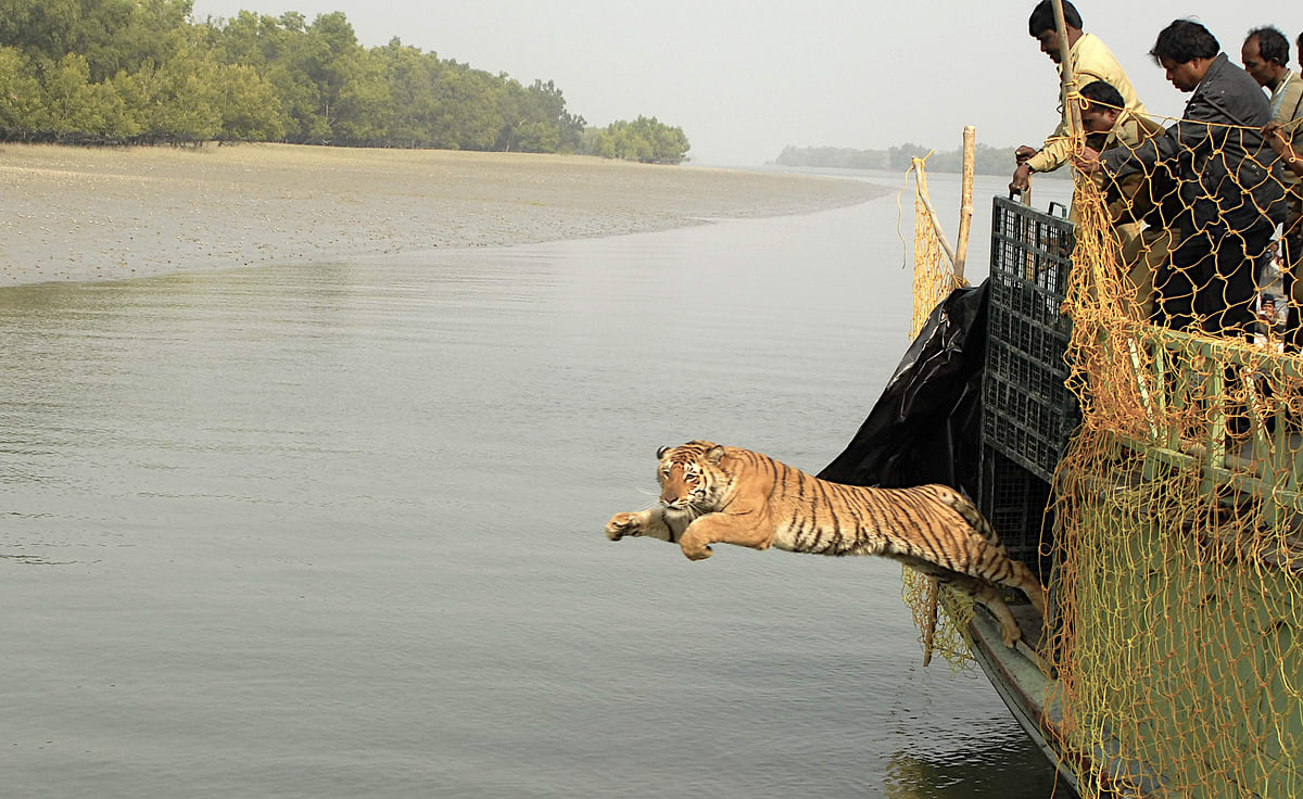 A tiger is rescued and released into the Sundarbans forest. Photo: Anish Andheria, 2010