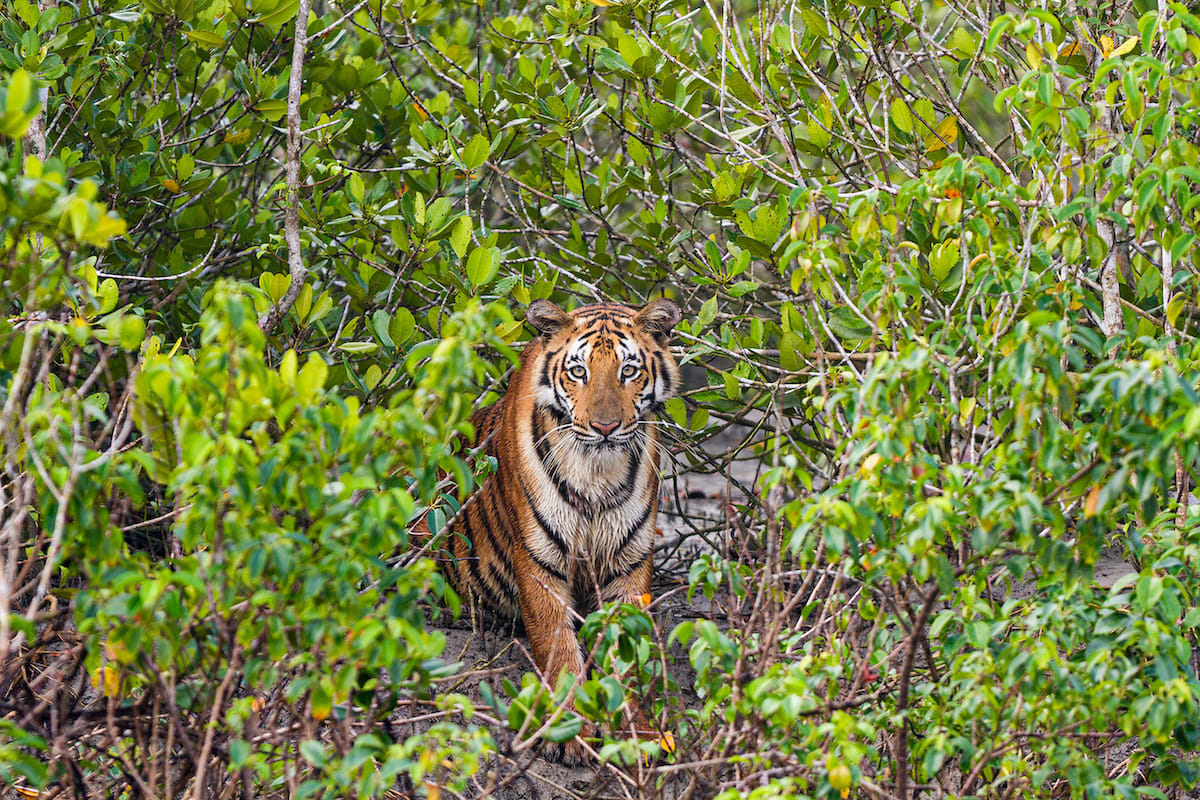 The mangrove forest is a challenge even for the Bengal tiger — with floods, marshy banks, shifting tides, and pneumatophores or mangrove roots that stick out of the ground like spikes.  Cover photo: The Sundarbans is a mosaic of mangroves, forested islands, and rivers. Its apex predator, the Bengal tiger, is an excellent swimmer that hunts and thrives in its complex landscape.