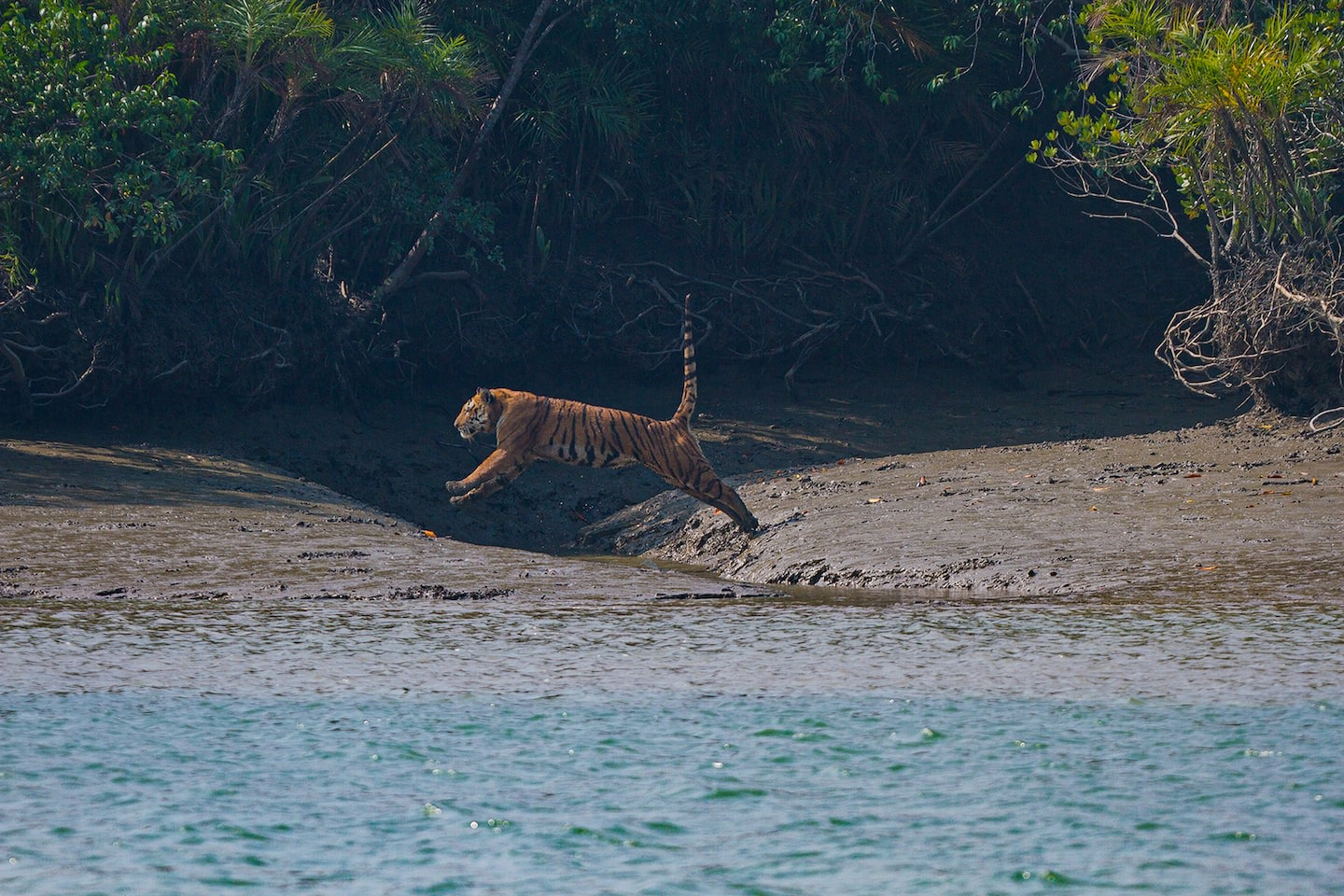The Bengal tiger's hindlimbs are longer than its forelimbs. It propels itself on its long hindlimbs to leap over the tiny creeks that separate islands in the Sundarbans.