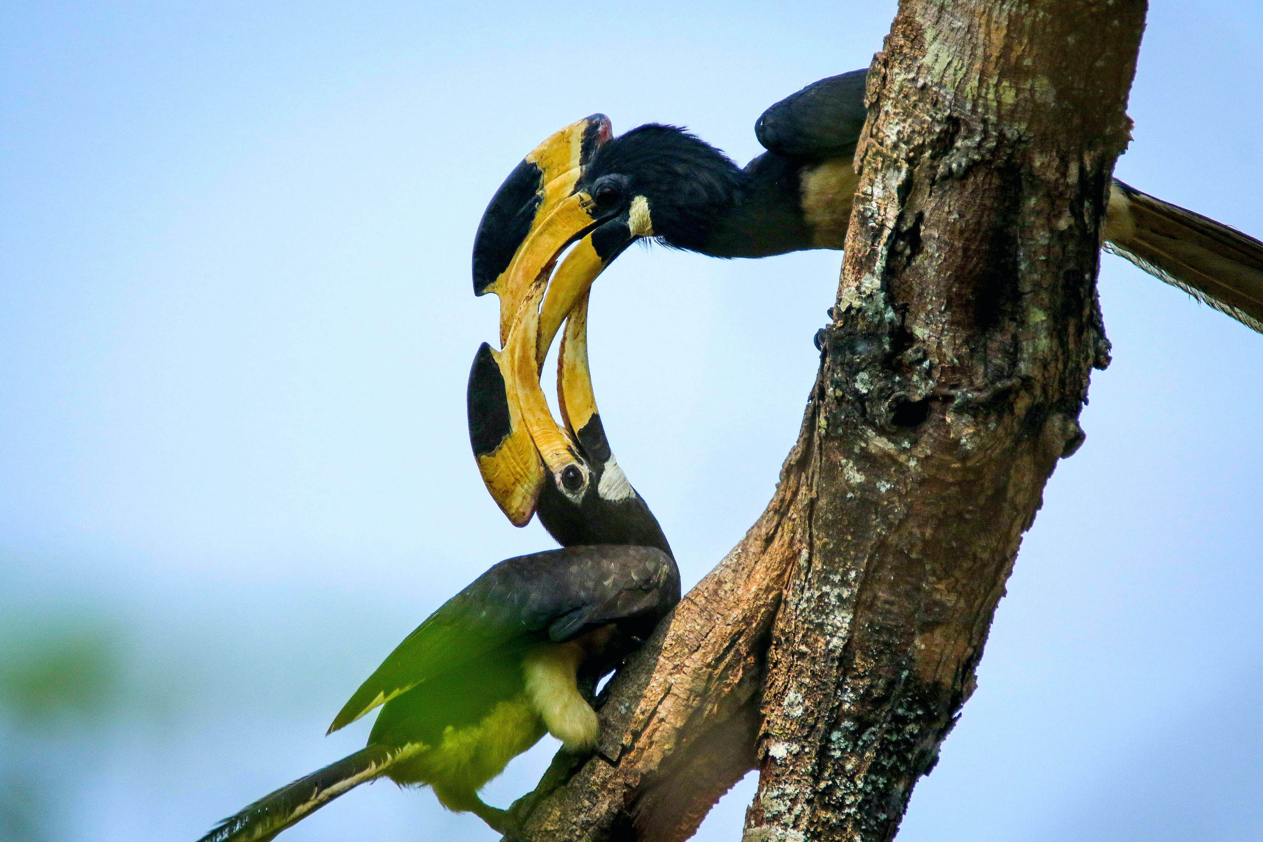 Dandeli in the Western Ghats of Karnataka, where this courting pair was photographed, is one of the best places in India to spot the Malabar pied hornbill. Photo: Vikas patil photography / CC BY-SA 4.0