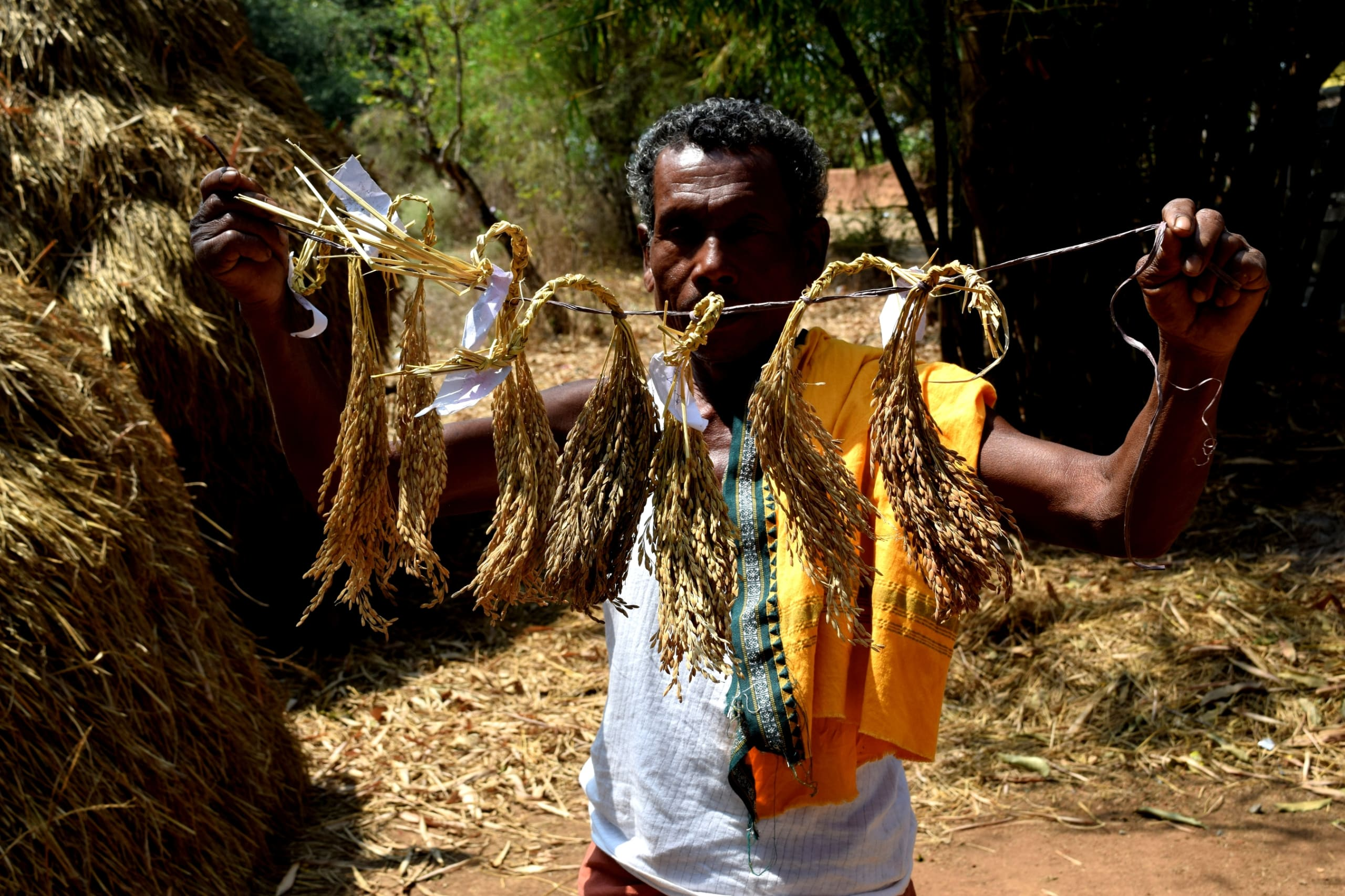 Purushottam Gadaba of Kadamguda village shows the indigenous rice seeds he grows in his fields. Photo: Basudev Mahapatra