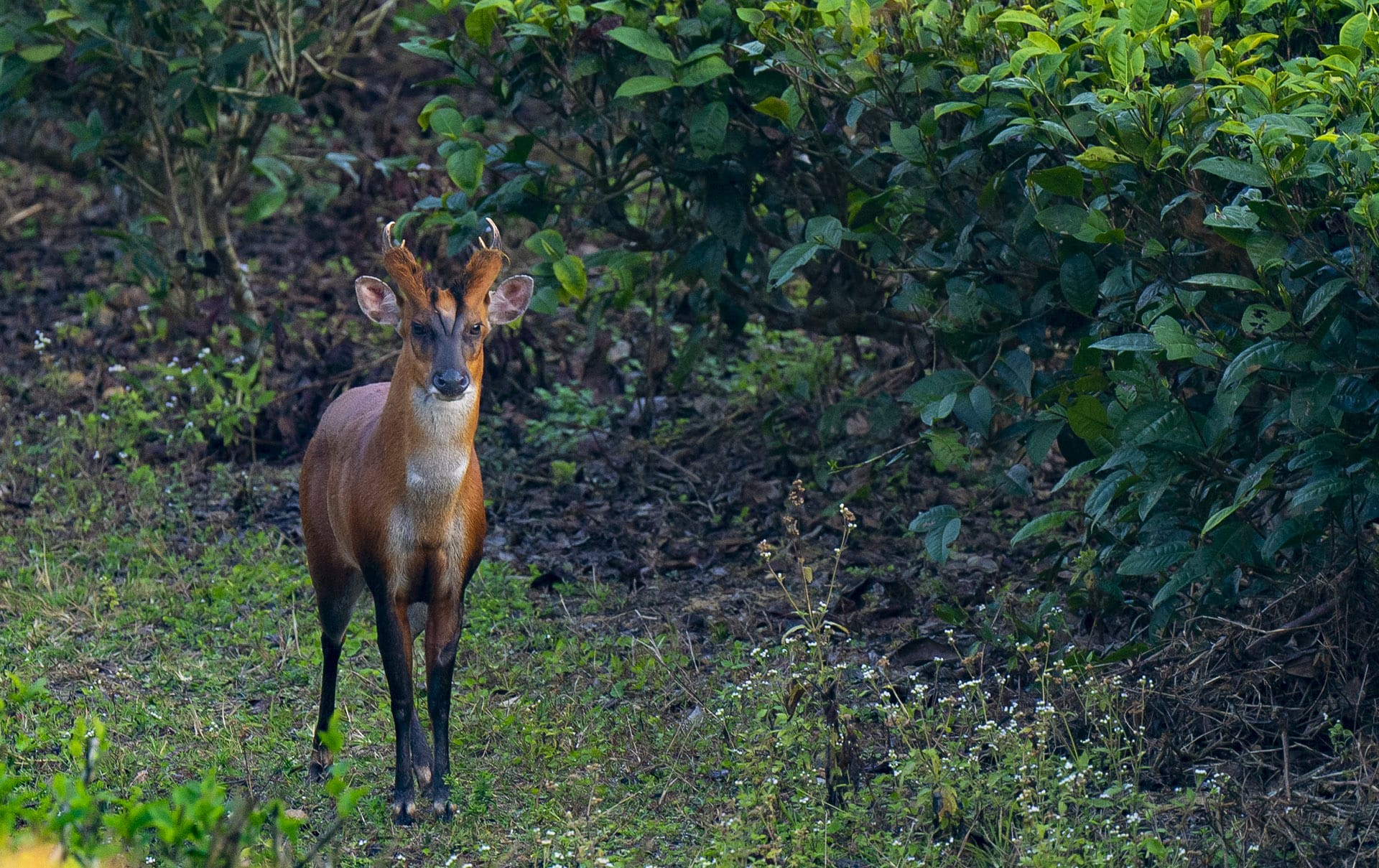 Barking deer have adapted to changes in their landscape due to human activity, like this individual seen in a tea estate in Assam. They have resorted to feeding on bushes and shrubs growing in and around plantations, and may feed on tea seeds as well. Photo: Dhritiman Mukherjee
