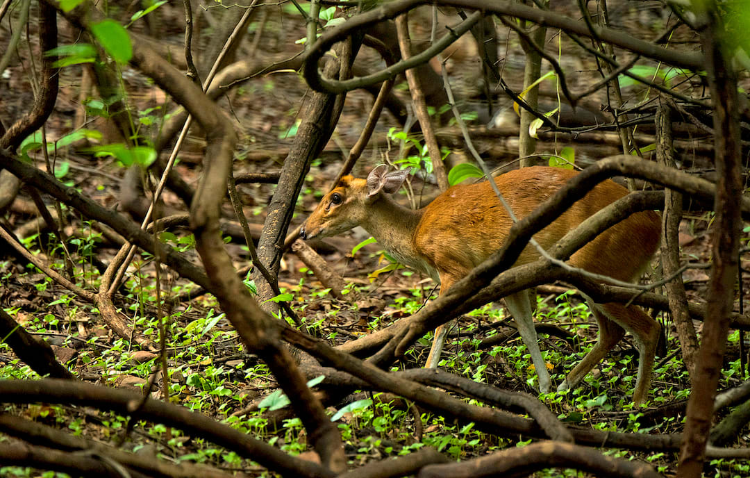 Barking deer have made themselves at home in Mumbai's Sanjay Gandhi National Park and the neighbouring Tungareshwar Wildlife Sanctuary. Their presence has also been recorded in the Karnala Bird Sanctuary just outside city limits.  Photo: Shashank Birla