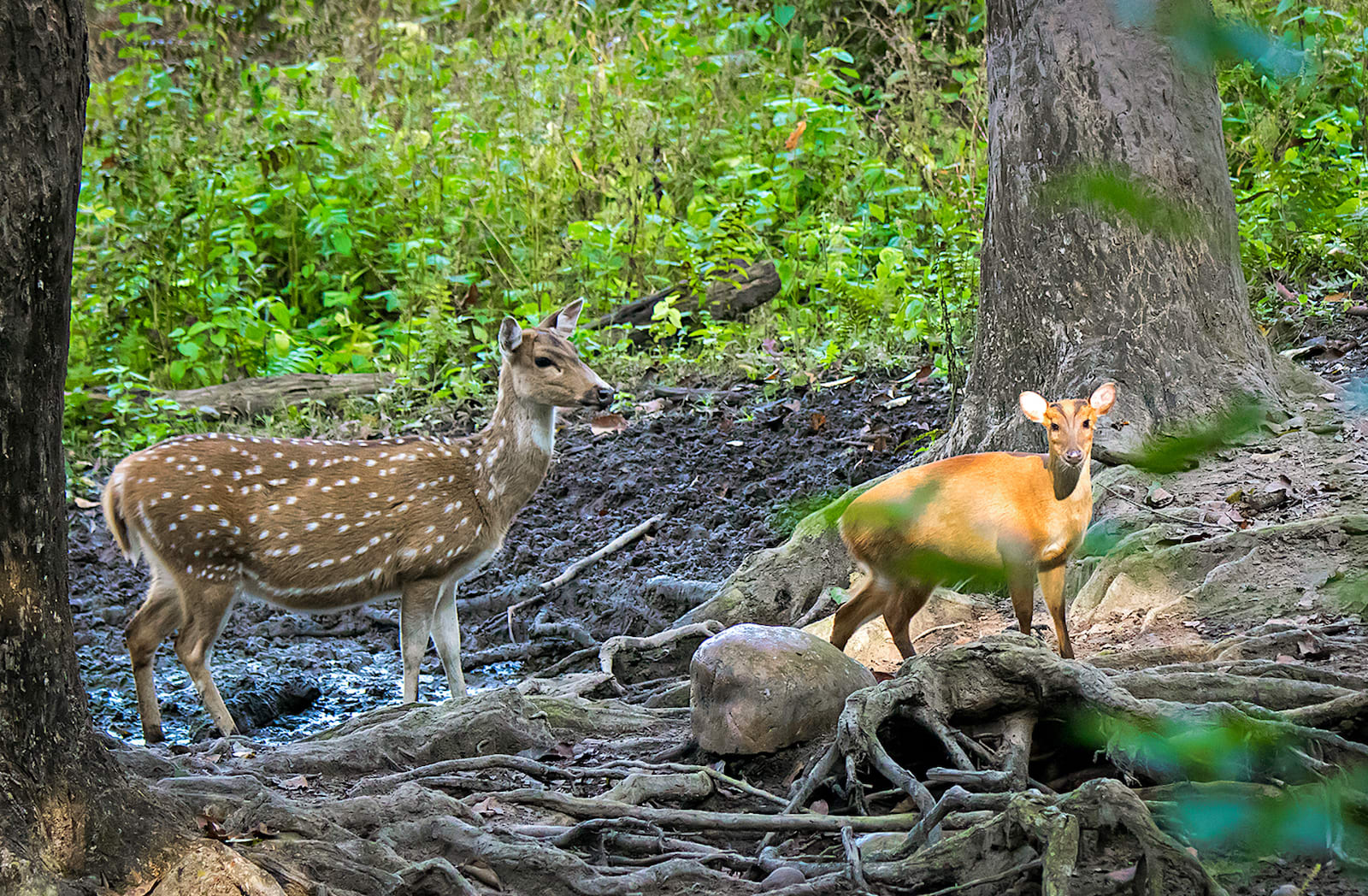Barking deer are smaller than their more gregarious cousins, the sambar and spotted deer. Though spotted and barking deer are usually not seen in each other's company, but a visitor may sometimes have encounters like this one near a waterhole in Corbett National Park. Photo: Shashank Birla
