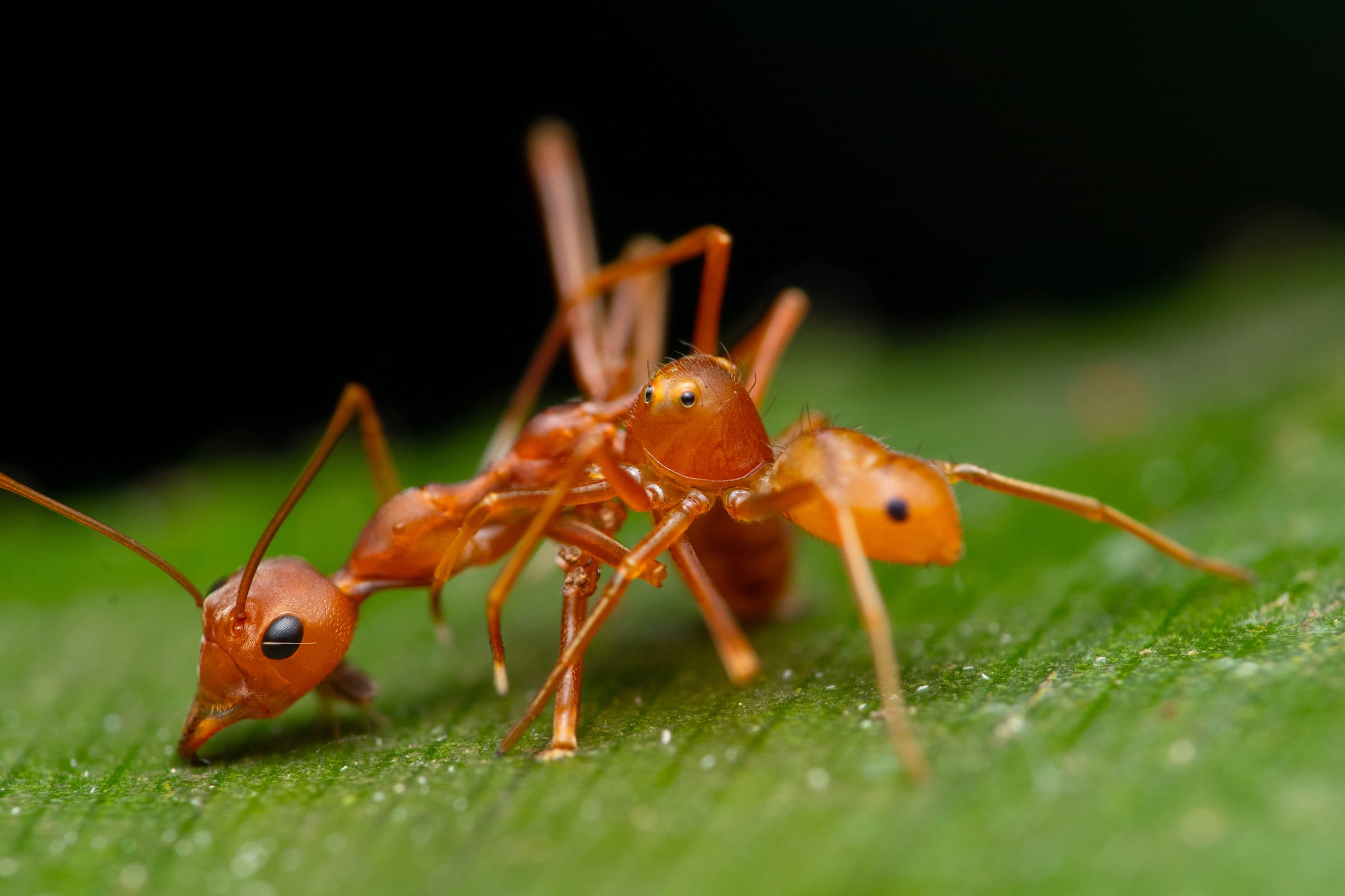 The Amyciaea spider takes an envenomated ant onto a nearby leaf and consumes it.  Photo: Jithesh Pai