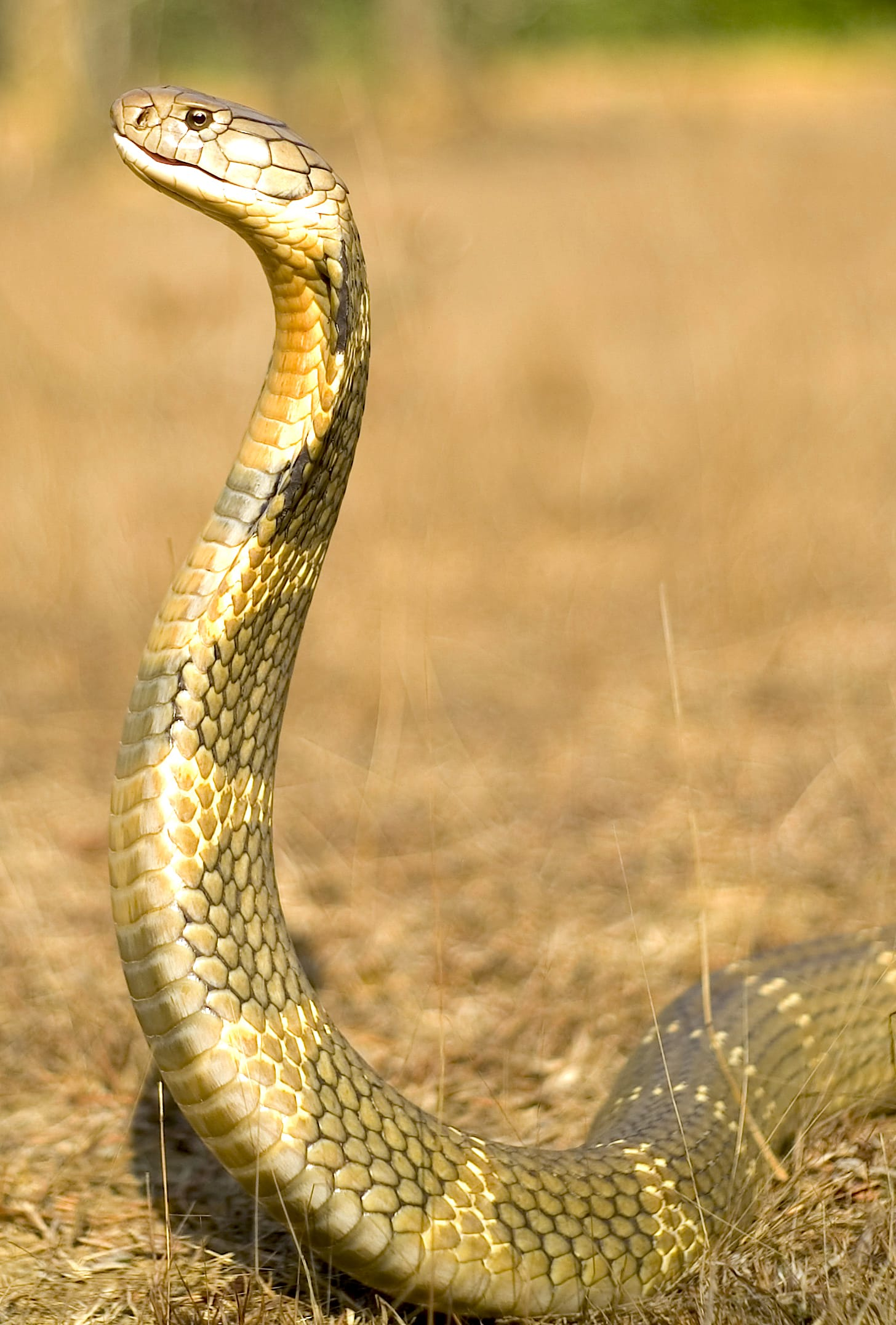 During the breeding season, higher levels of testosterone drive male king cobras to forgo eating altogether to focus their energies on sex. Photo courtesy: Agumbe Rainforest Research Station