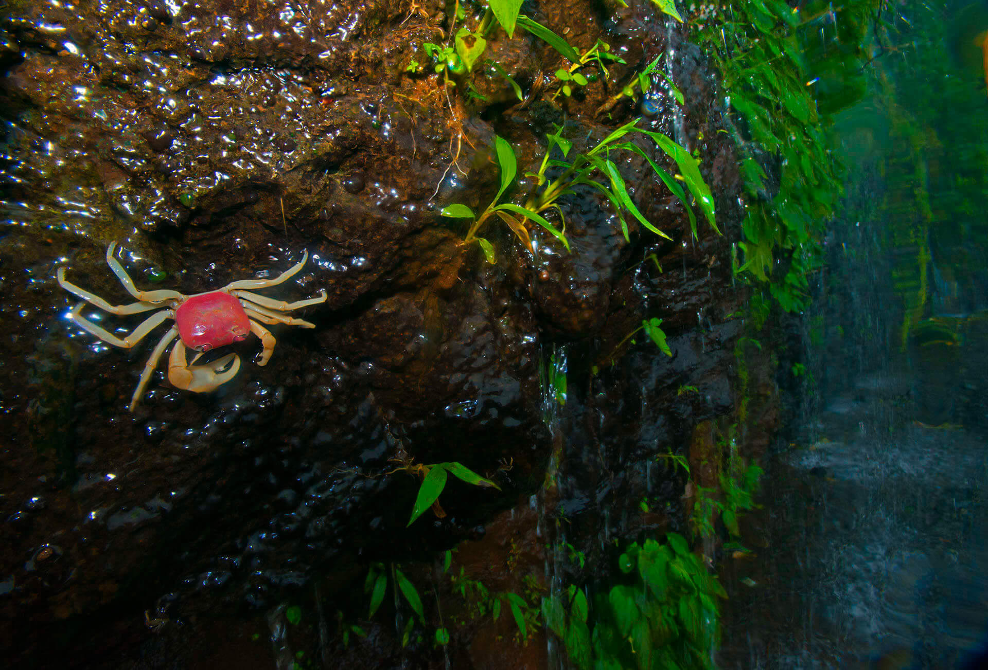 In habitats like Amboli, it is not just water-bodies and forest floors that offer themselves as unique microhabitats. Wildlife photographers and researchers working in the region will always advice you to keep a look out on walls — they are home to some mind-boggling wildlife like geckos and this freshwater crab (Gubernatoriana longipes) especially during the monsoons.