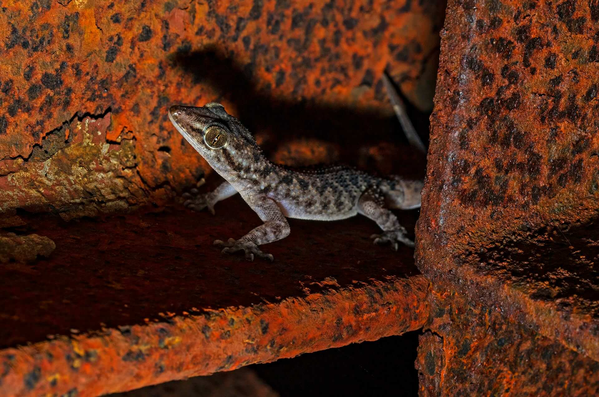 Mostly overlooked, the walls and crevices of Amboli — both manmade and natural — host some incredible species of geckos. This common, nocturnal gecko of Amboli was unknown until researchers described this as a new species — the Giri's brookish gecko (Hemidactylus varadgirii) — in 2019. This landscape still has many such undescribed species that need attention.