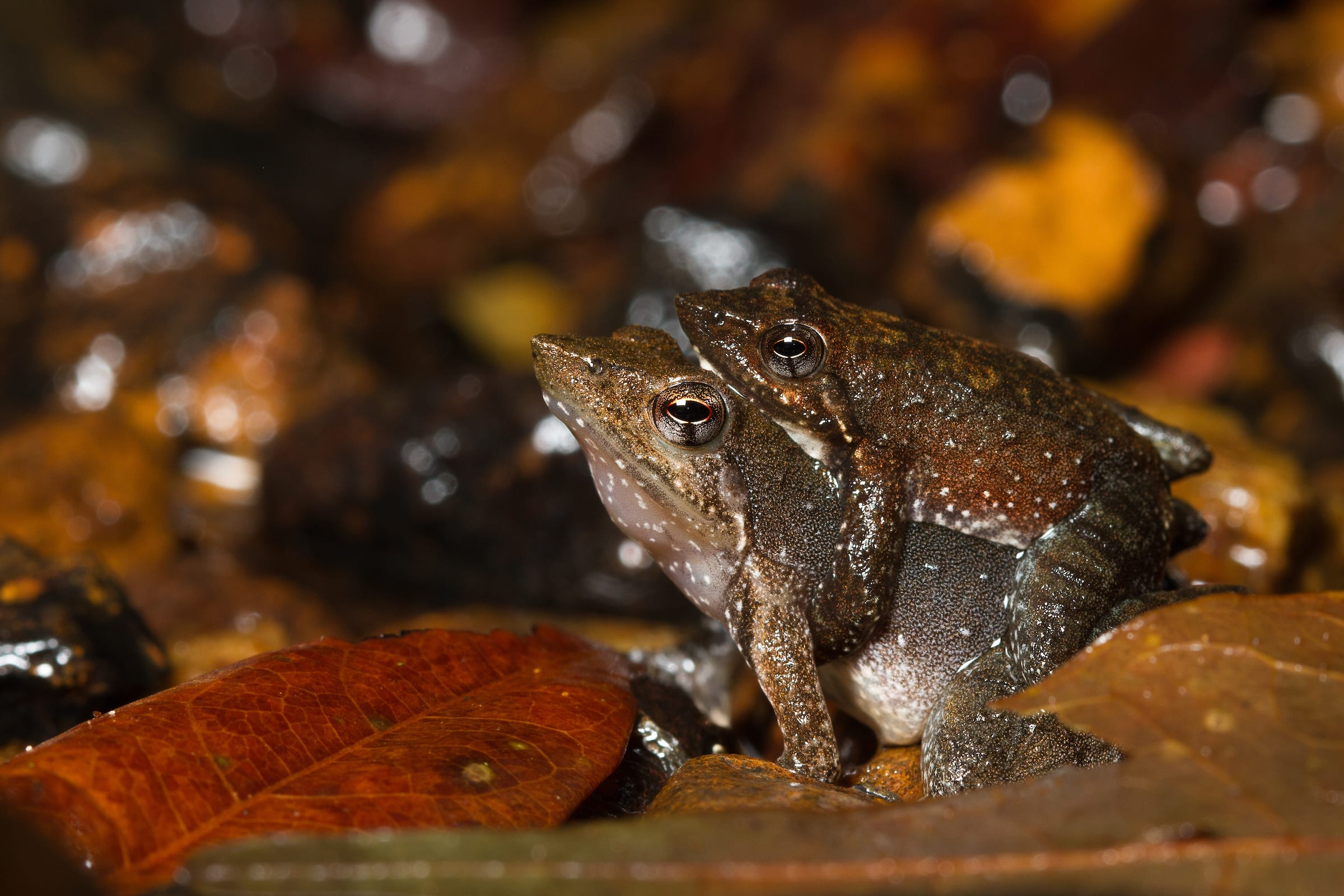 A female Kottigehar dancing frog is much larger than a male. During the mating ritual, the male takes a position on her back, holding her in a tight embrace, called amplexus, while they copulate. Photo: Shreeram MV  Cover: The Kottigehar dancing frog is endemic to the Western Ghats, where it can often be spotted along a forest's perennial streams. Cover photo: Shreeram MV