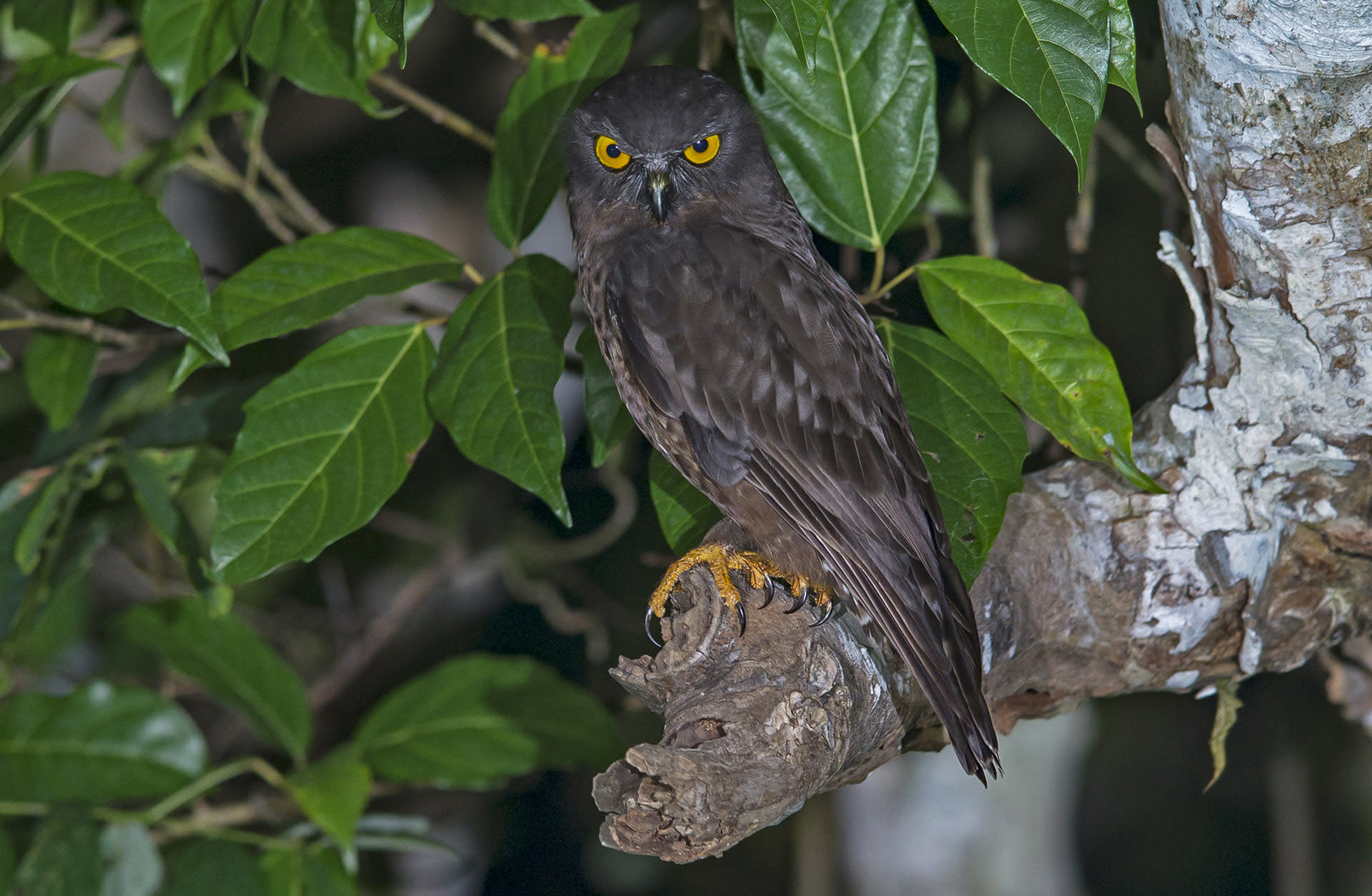 """Hume's hawk-owl (Ninox obscura) is an uncommon species confined only to the Andaman Islands where it is endemic. """"Every possible habitat of the Andamans is occupied by them,"""" says Dalvi. These medium-sized owls with dark brown feathers and golden eyes are very vocal, emitting a distinctly sing-song whoo-oo whoo-oo call."""
