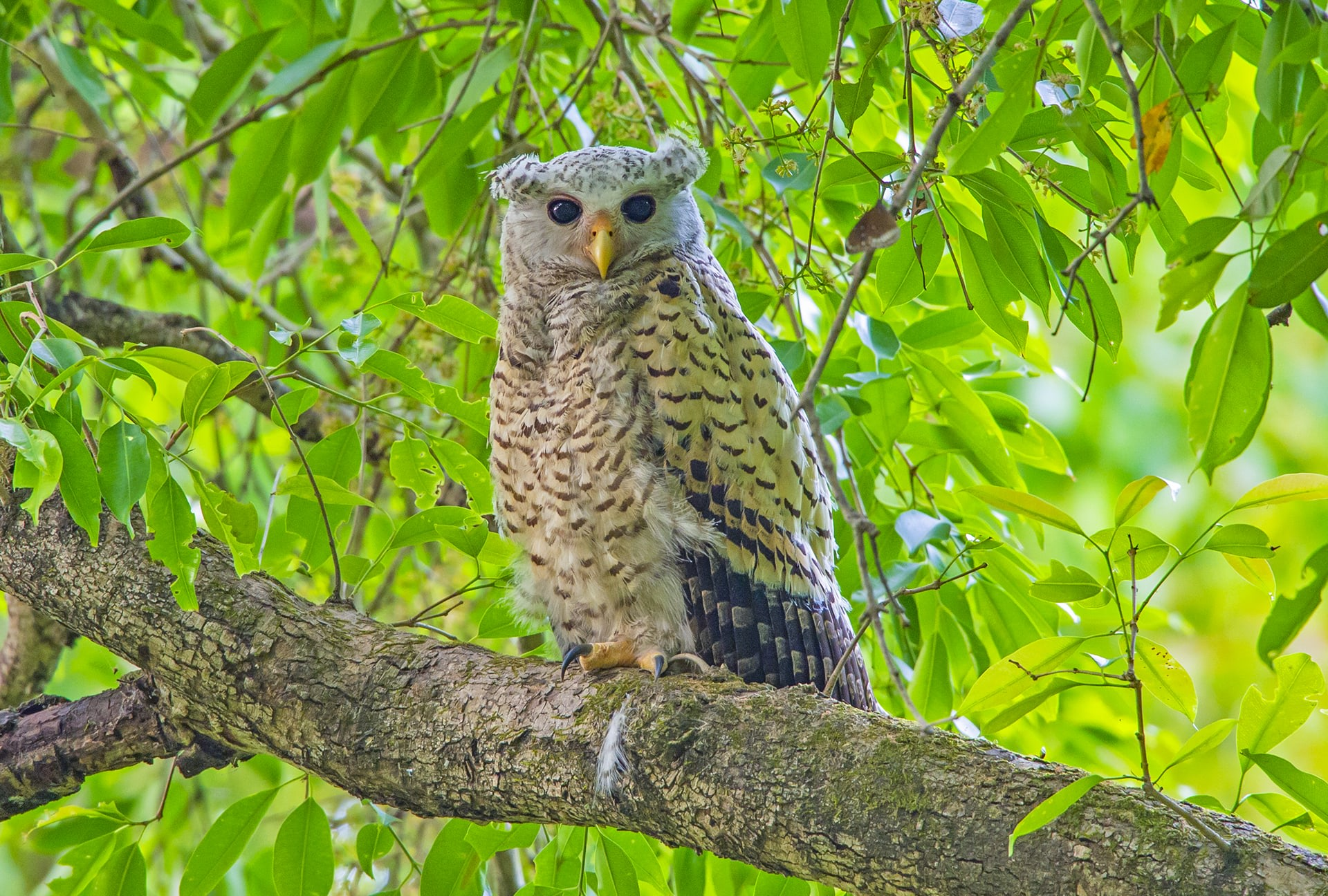"""Most owls are very vocal, and once you know their call, identifying them is fairly easy. Jim Corbett described the call of the spot-bellied eagle-owl (Bubo nipalensis) as the """"call of a banshee"""" for the eerie shriek it emits, inspiring tall tales in local folklore. In the silence of the night, their calls pierce the forest like an arrow. With heart-shaped spots on their bodies and prominent yellow beaks, these large owls are handsome birds whether they are juveniles (above) or adults."""