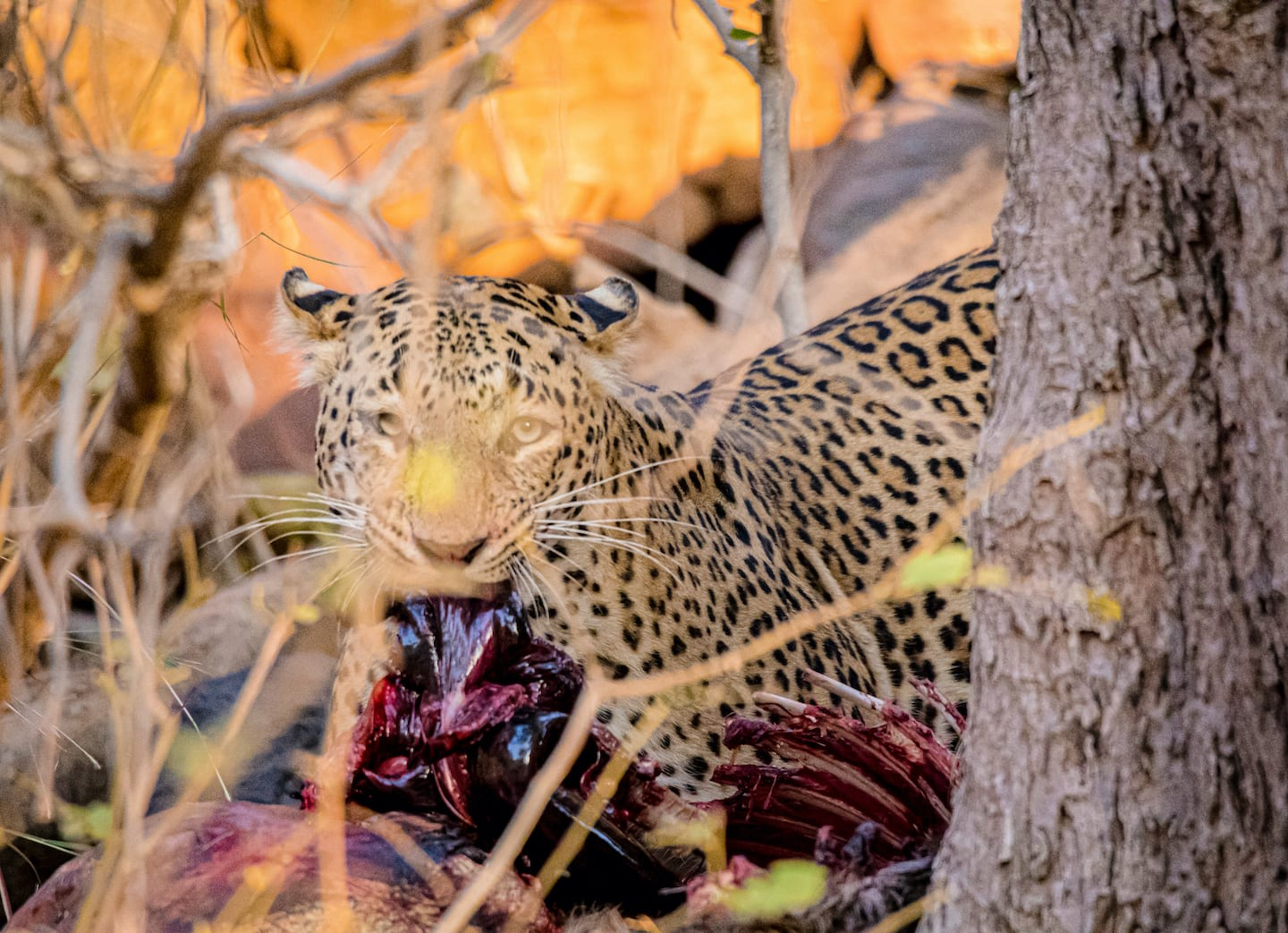 Pound for pound, leopards are the strongest among the big cats. They are able to drag a fairly large kill up a tree to eat in peace, away from fellow predators. Photo: Phalgun Patel