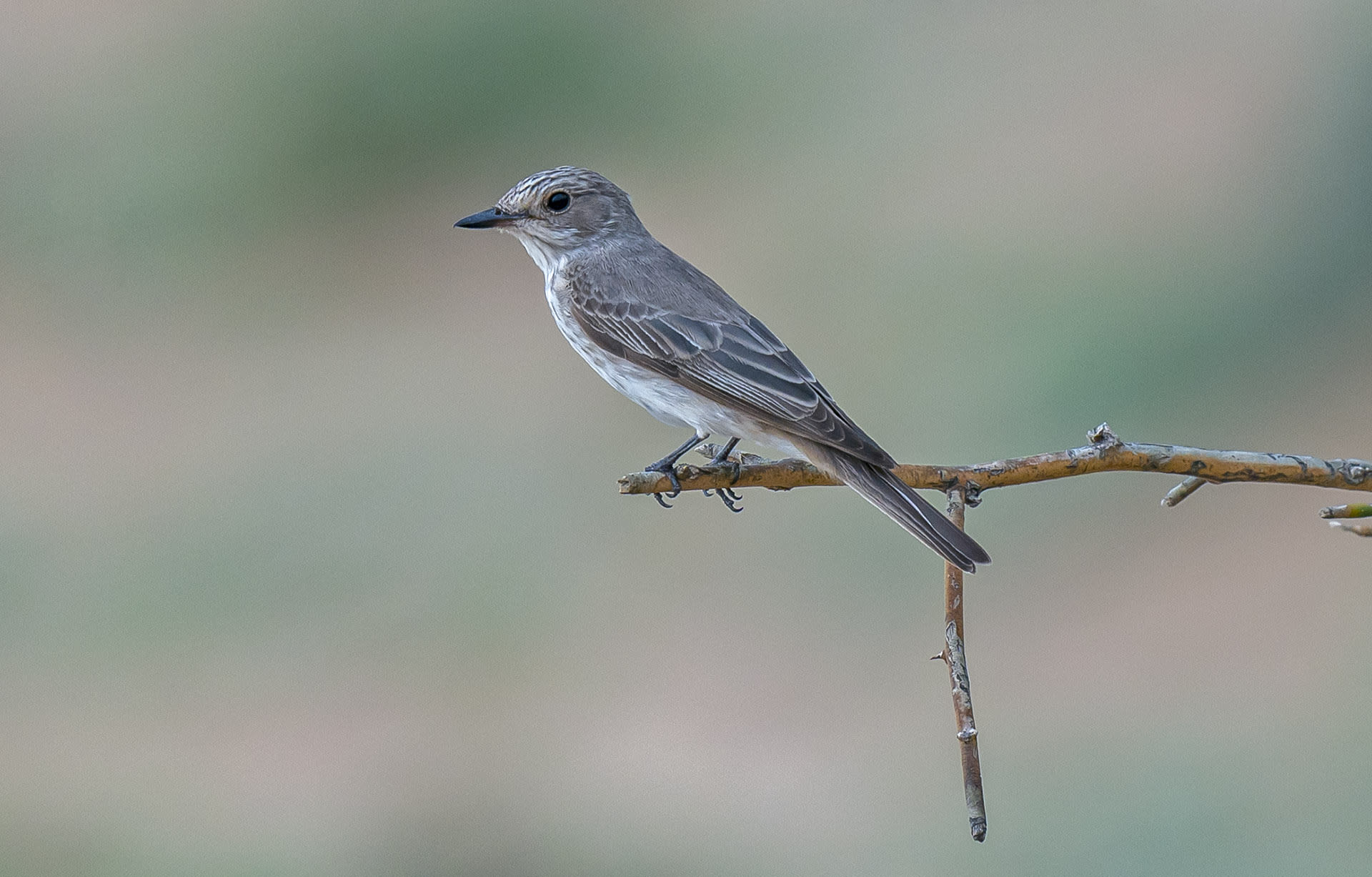 : Spotted flycatcher is often sighted perched on exposed branches over open areas, such as the arid landscape of Desert National Park. Photo: Dhritiman Mukherjee  Cover: Until five years ago, few people knew Musa Khan. Today, he is one of the most in-demand birding guides in Desert National Park. Cover photo courtesy: Musa Khan
