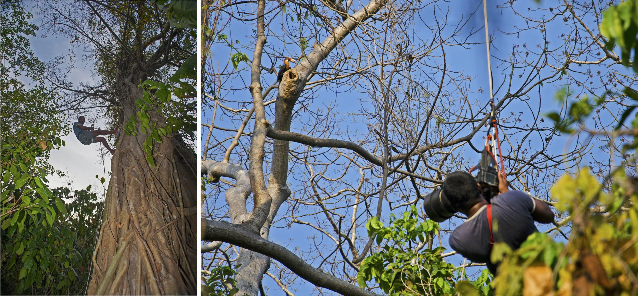 """The first thing photographer Dhritiman Mukherjee did upon his arrival on Narcondam was to recce the island and identify the feeding and nesting trees of the hornbills. """"There was a fig tree that they would visit every day,"""" but since fig trees are quite large, photographing the birds required a little preparation. The solution: rigging himself up the tree using a pulley so he could reach the same height as the hornbills. """"After I climbed to the top of the feeding tree, I stayed there almost the entire day,"""" he says."""