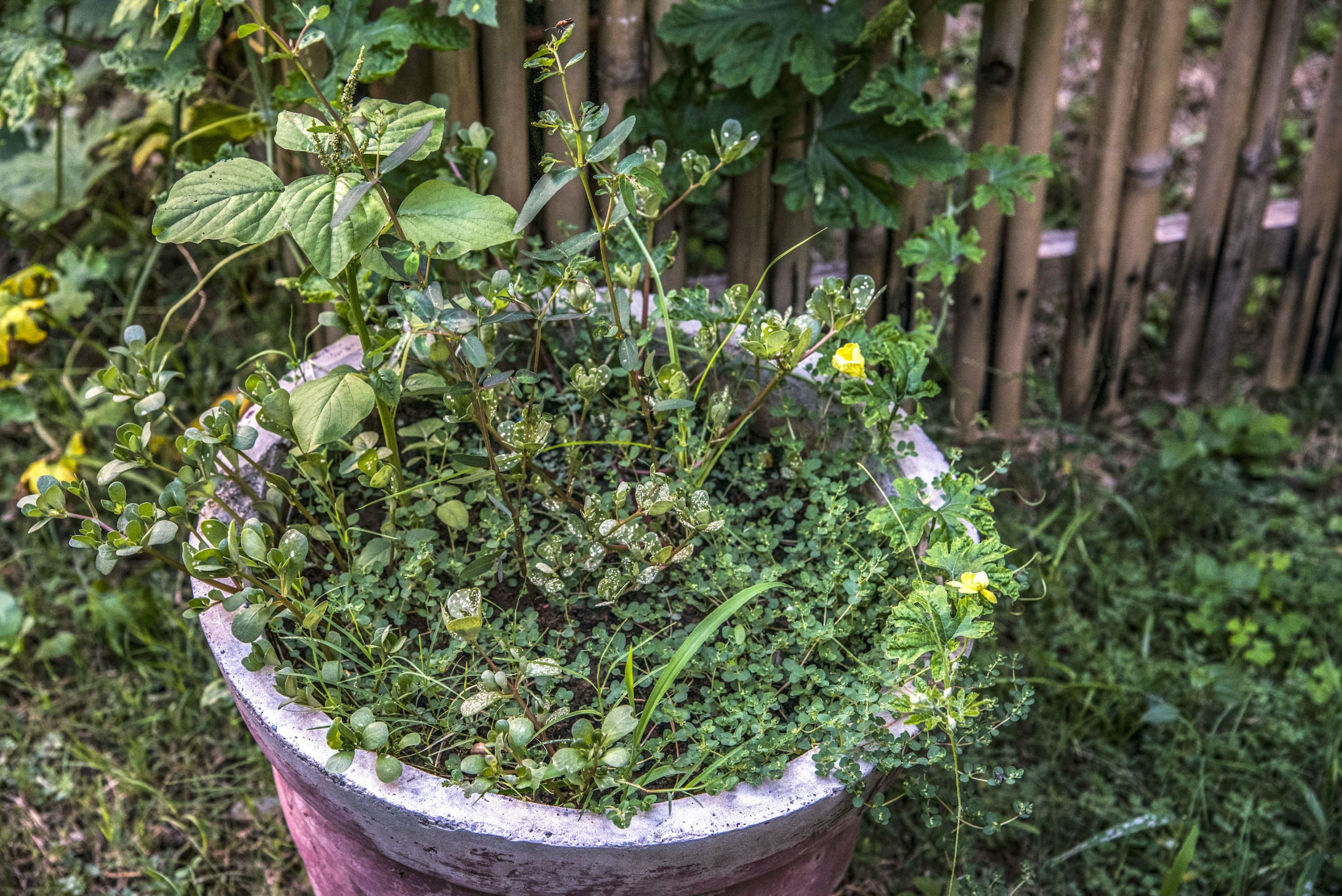 In heavily built-up environments like cities, any exposed patch of soil, however little, can grow wild if left alone. In this picture numerous species are growing from a seemingly abandoned flowering pot. Photo: Sanjay Basak