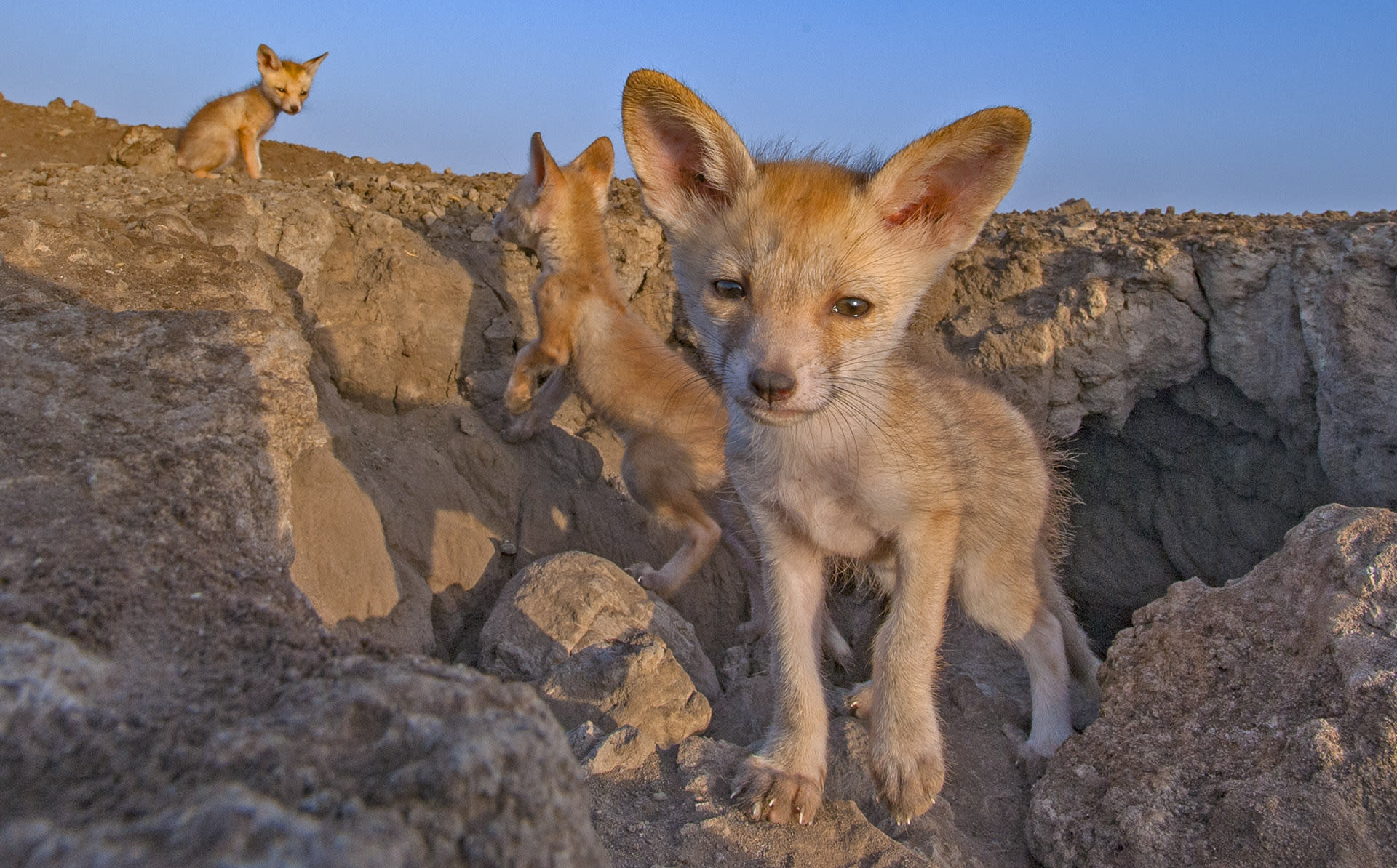 Desert foxes dig elaborate breeding dens with multiple entrances to house their young, abandoning the spaces once the pups are old enough to look after themselves.