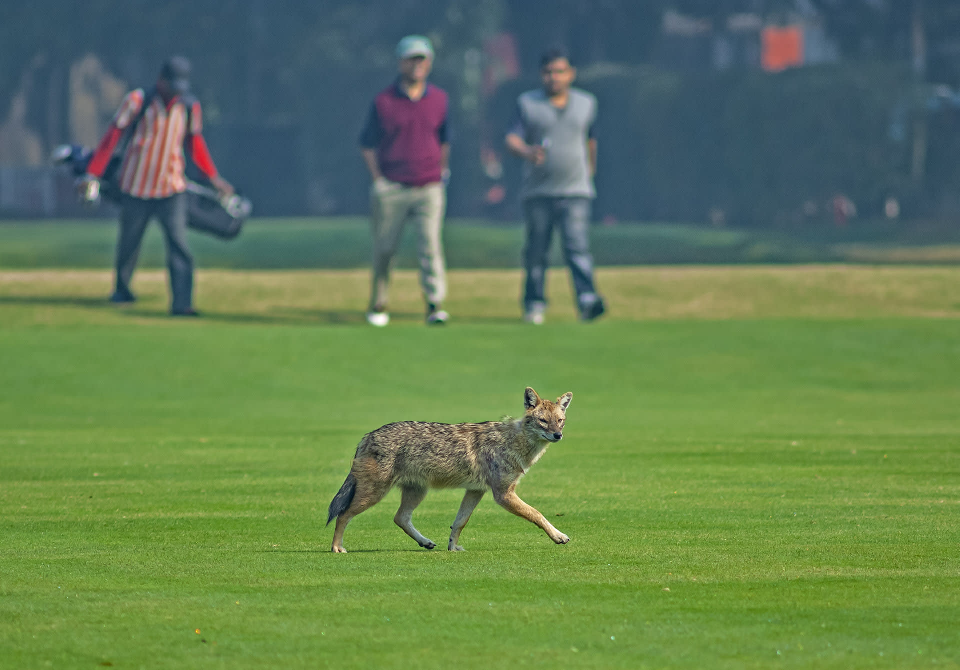 The adaptable nature of the jackal along with its efficiency as a scavenger has enabled it to thrive in some urban environments. This individual was photographed at the Tollygunge Golf Club in Kolkata. Photo: Dhritiman Mukherjee