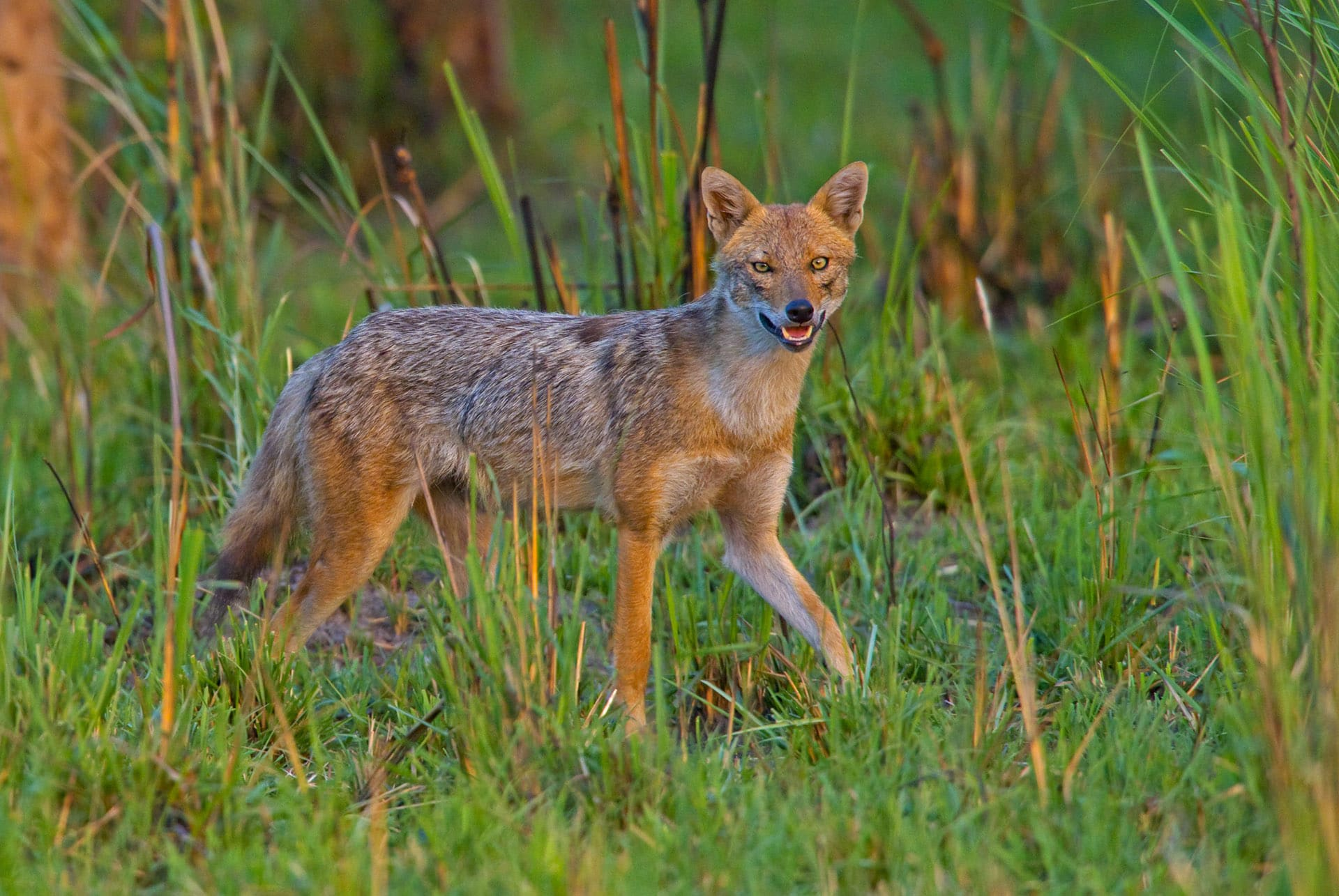 The golden jackals of north India such as this individual photographed in the Pilibhit Tiger Reserve, Uttar Pradesh, tend to be larger and heavier than their cousins found in peninsular India. Photo: Dhritiman Mukherjee   Cover: Found in almost all protected areas of India except those in the high Himalayas, the golden jackal or Indian jackal is the most widespread wild canid in the Indian subcontinent. It is believed to be a modern-day descendant of the extinct Arno river dog that lived in Mediterranean Europe some 1.9 million years ago. Cover photo: Dhritiman Mukherjee