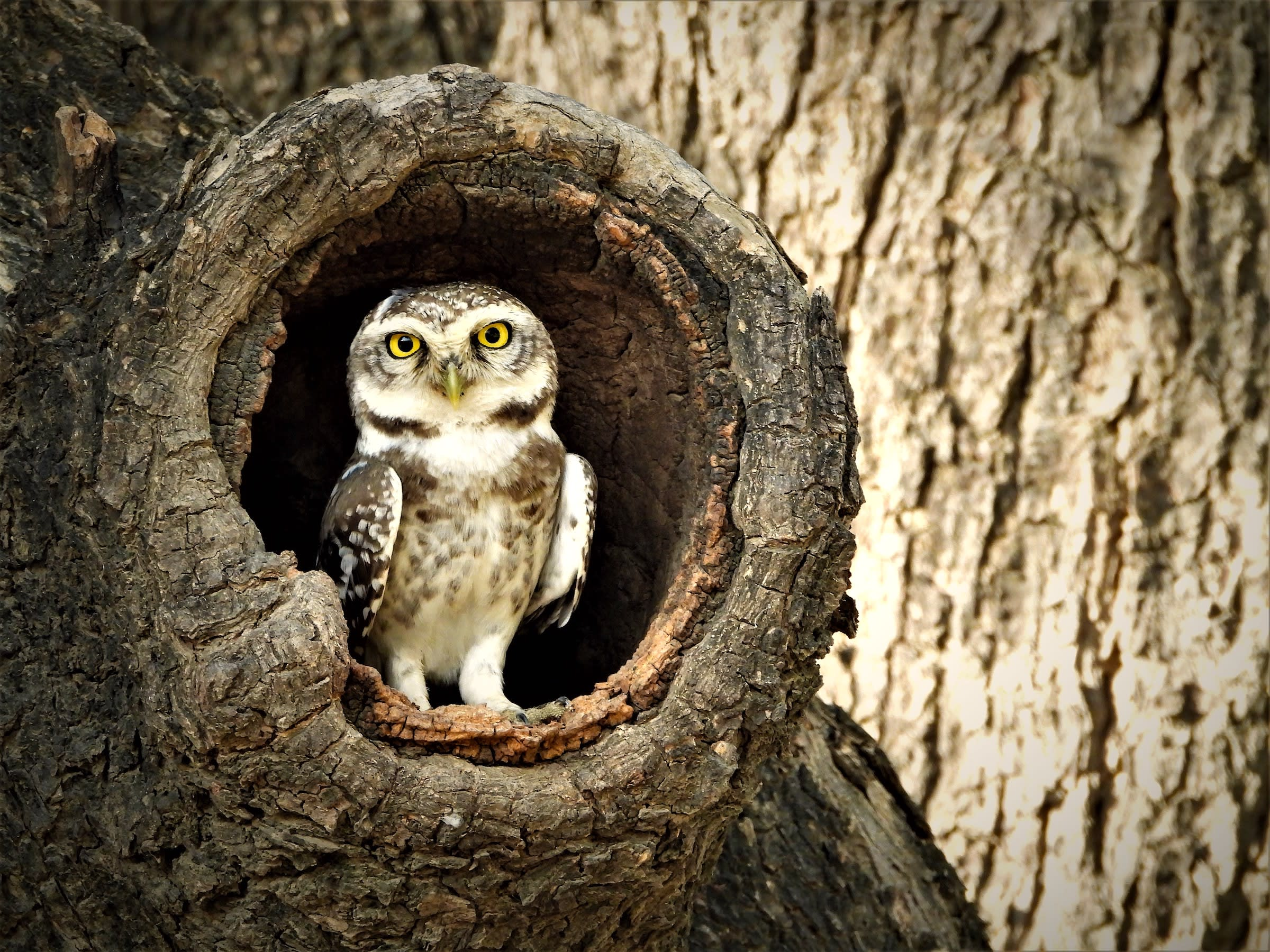 Spotted owlets can be seen roosting in the hollows of trees within the precincts of the sanctuaries as well in the surround areas. Photo: Bheru Bishnoi