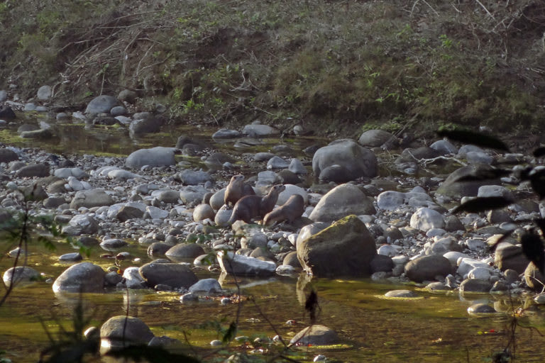 Otters in the Indian Himalayan region are imperilled by human-caused actions such as the construction of hydropower projects and boulder collection that harm their riverine habitats. Photo: Sayanti Basak