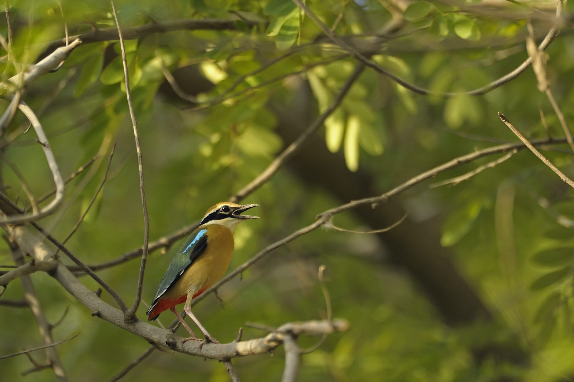 Dawn and dusk is when the Indian pitta is most active, throwing its head back and pointing its bill upwards, to emit a distinct, loud two-note whistle. Photo: Aditya Singh/Shutterstock