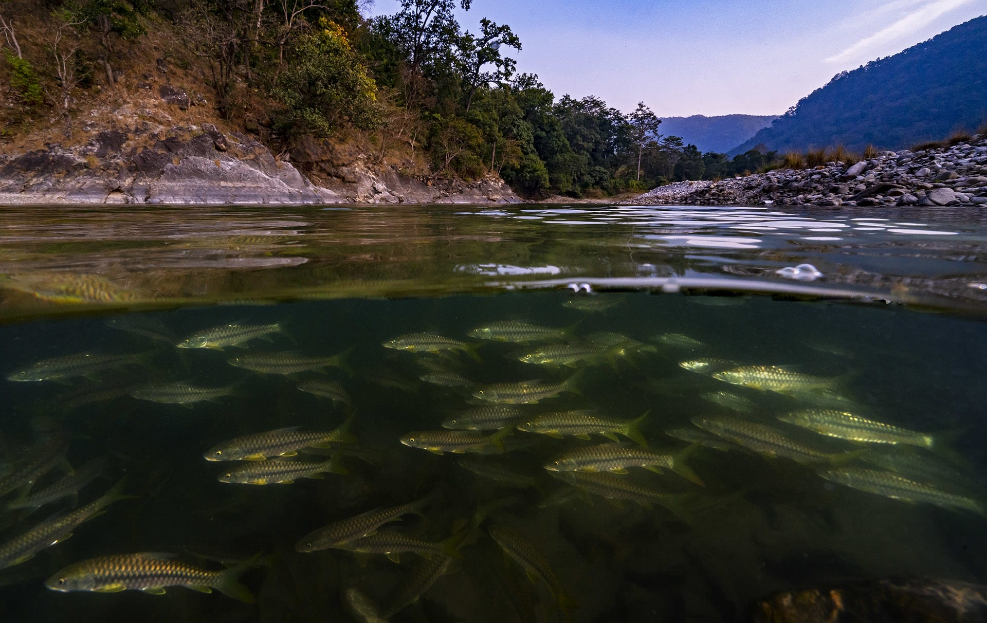 """Dr Atkore believes that policy-level change is the need of the hour. """"If both state and central government accord it special status i.e. Schedule-I in the Wildlife Protection Act (1972), this will help sustain the population in the future and curb illegal and destructive fishing practices.""""  Additionally, restoring mahseer habitat, protecting migratory routes, rejecting new dams, and creating conservation reserves to safeguard their genetic stocks, would also be helpful. """"Local communities, as well as some of the temple authorities (small and large) in Uttarakhand, have been conserving the mahseer's habitat and population for many decades now,"""" says Dr Atkore. """"Acknowledging and encouraging their efforts might help sustain the population of this majestic species in their native habitat."""""""