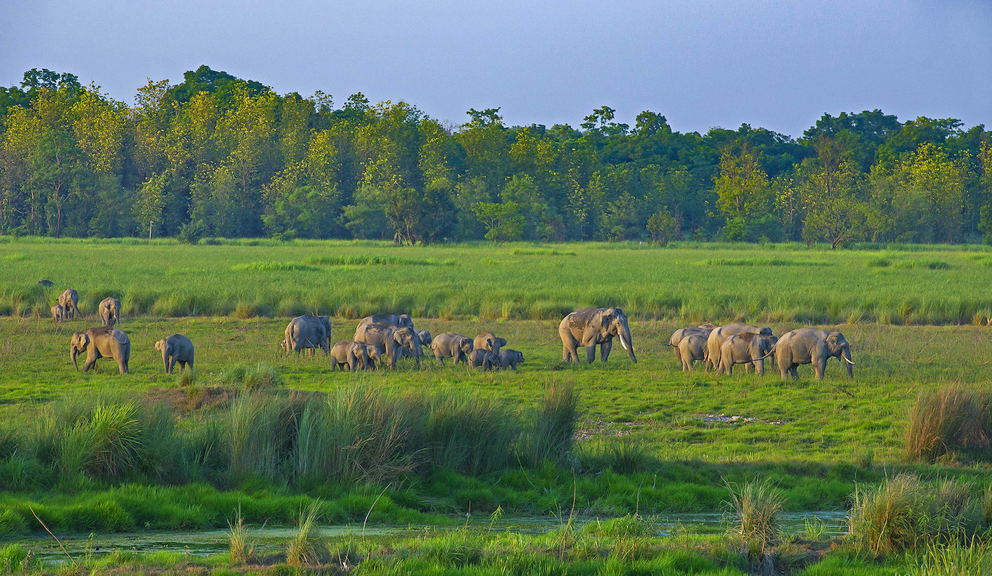 The marshy grasslands of Dudhwa Tiger Reserve are interspersed with rivers, shallow lakes, and swamps that create a lush green landscape and provide fresh water all year round.  (Top) Jhadi taal located in Kishanpur Wildlife Sanctuary is a safe haven for numerous species from (top) the swamp deer.  (Above) Herds of elephants can be seen in Banke taal inside Dudhwa National Park.