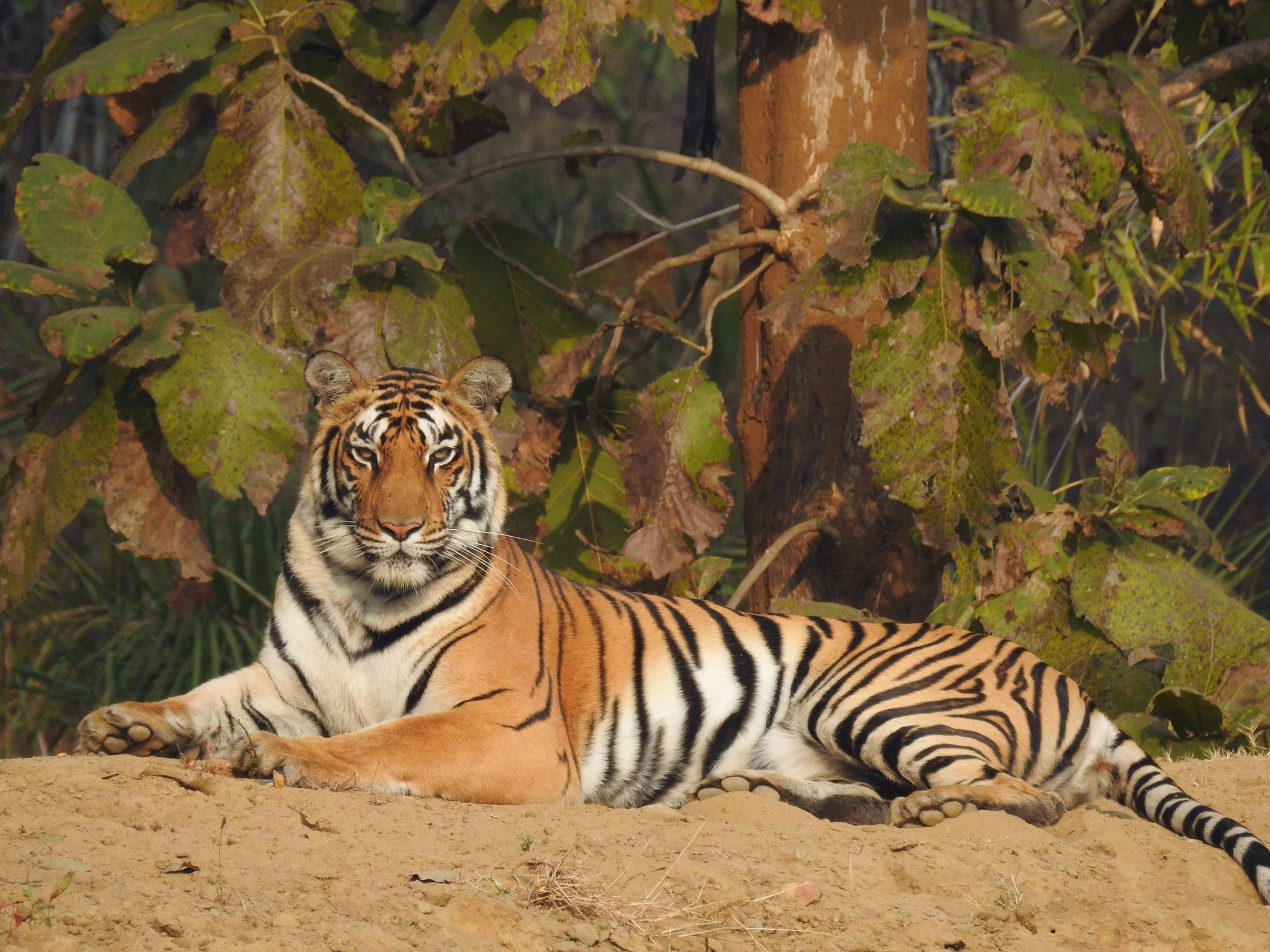 Disturbed tiger corridors have resulted in tiger islands limiting the national animal to a territory. Photo: Suhel Quader/CC BY 4.0  Cover: India's tiger population has been rising since 2006 but its habitat and corridor faces threat from mining activities. Cover Photo: Rohit Varma / CC BY-SA 3.0
