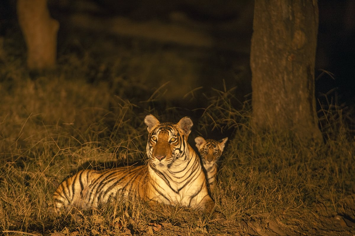 According to the latest report released by the Indian government, over 1,000 tigers out of 2,967 are estimated to be living outside tiger reserves. Photo: Kalyan Varma