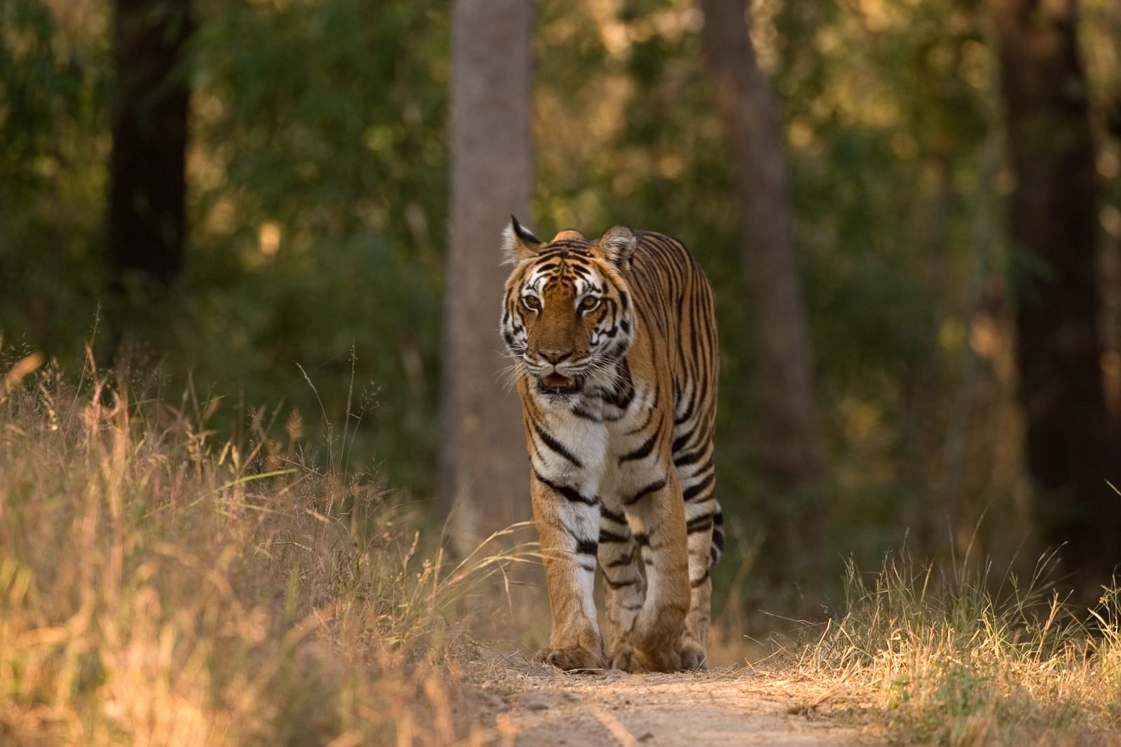 India's tiger population has been consistently rising since 2006 but its habitat and corridor faces threat from mining activities. Photo: Kalyan Varma/CC BY-SA 4.0