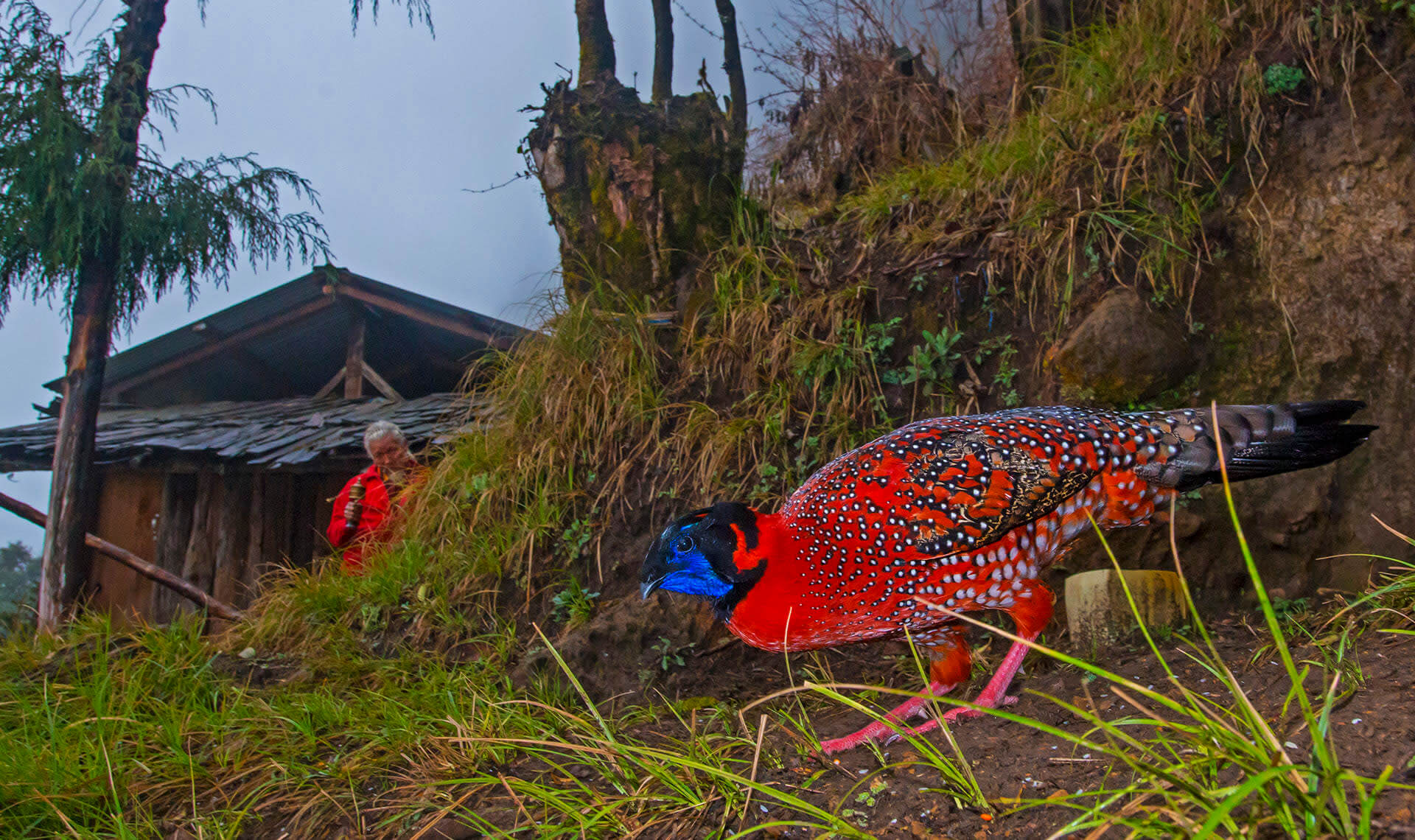Male satyr tragopans are brightly coloured birds, with a bright blue patch near the throat. This is called the wattle, and is a morphological feature exhibited by many male members of the order Galliformes, including roosters. The birds would visit this house in Punakha most mornings and evenings, hang around for an hour or so, and then return to the rhododendron thickets around.