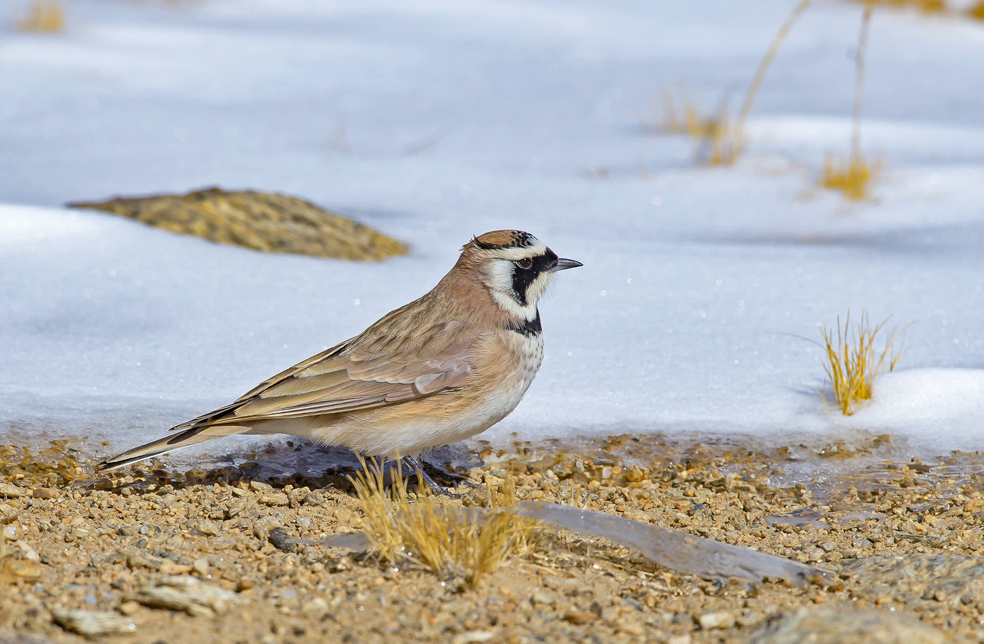 When the horned lark forages for food, it doesn't fly. Instead, it walks or runs on the ground looking for insects, seeds, berries and fruits. Photo: Dhritiman Mukherjee  Cover: A black mask and tiny hornlike feathers on its head give the horned lark a perpetually angry look. The female does not have the 'horns' and is of a duller colour.    Cover photo: Dhritiman Mukherjee