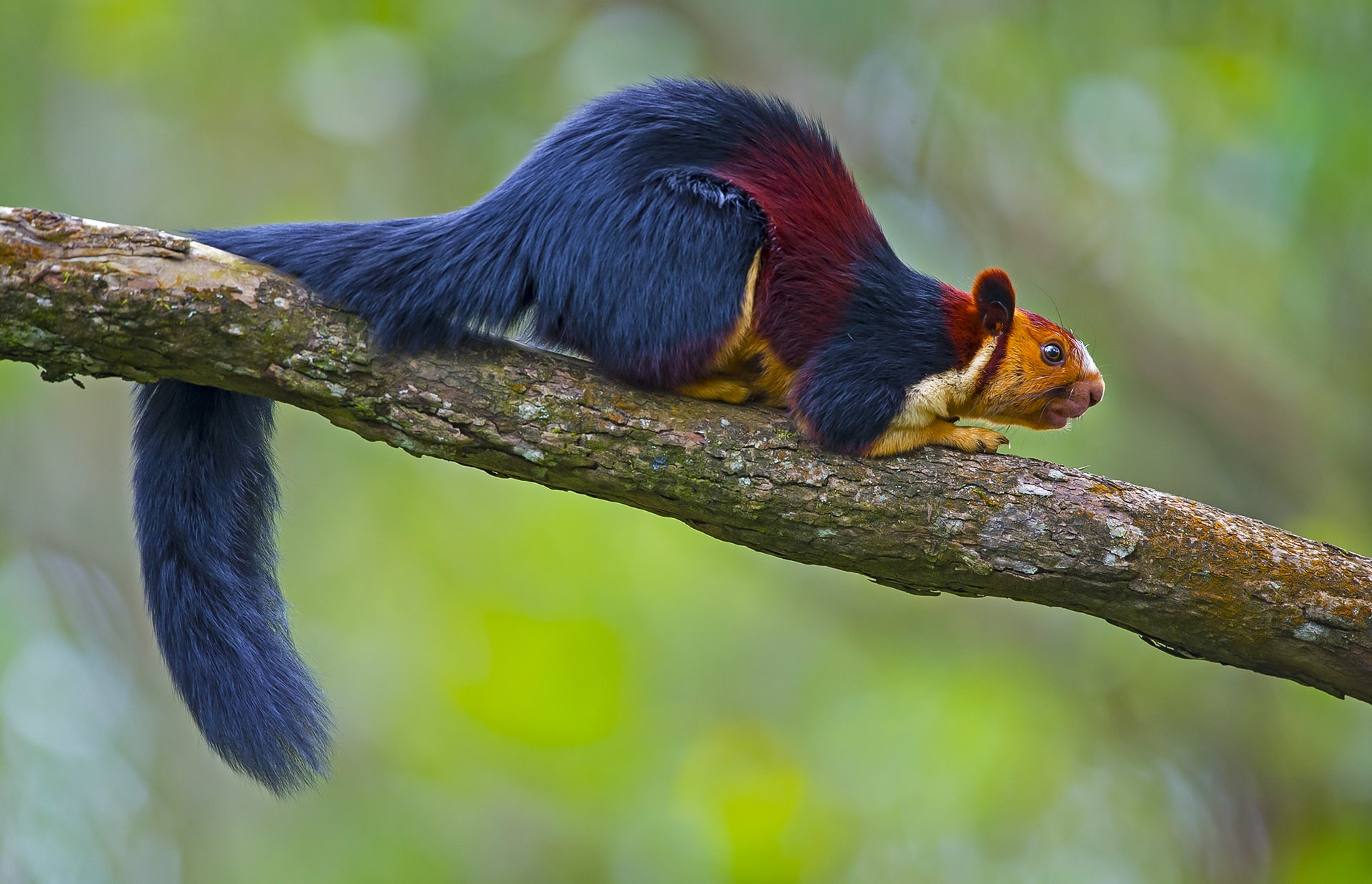 The glossy black Nilgiri langur (top), with a distinctive mane of grey, and the Malabar giant squirrel (above), with a coat of black, maroon, and cream, are among the many arboreal denizens of this forest. While langurs are mostly seen in troops of 9 to 12 individuals, the squirrel is usually solitary.