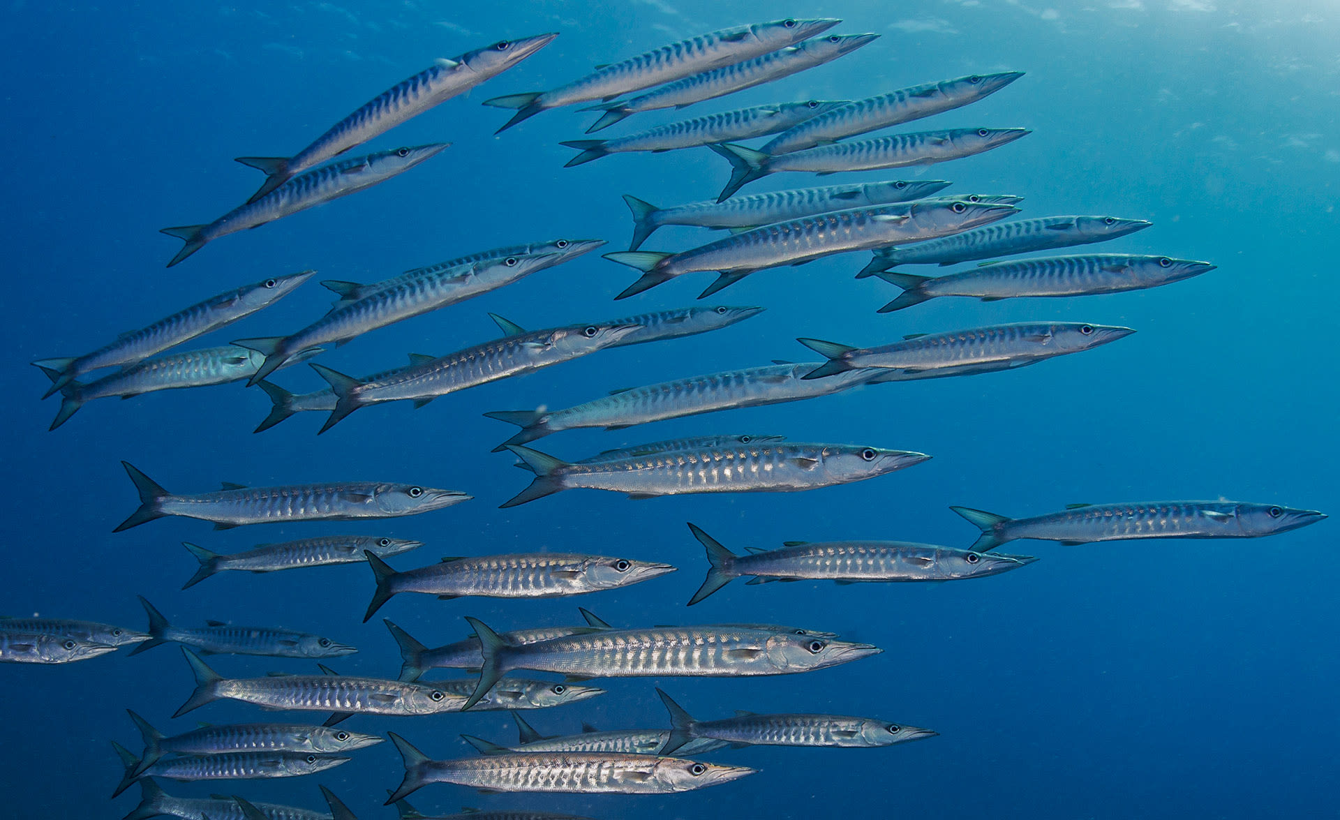 Barracudas are ferocious predators that hunt in packs. They rely on both, speed and their fang-like sharp teeth to hunt.