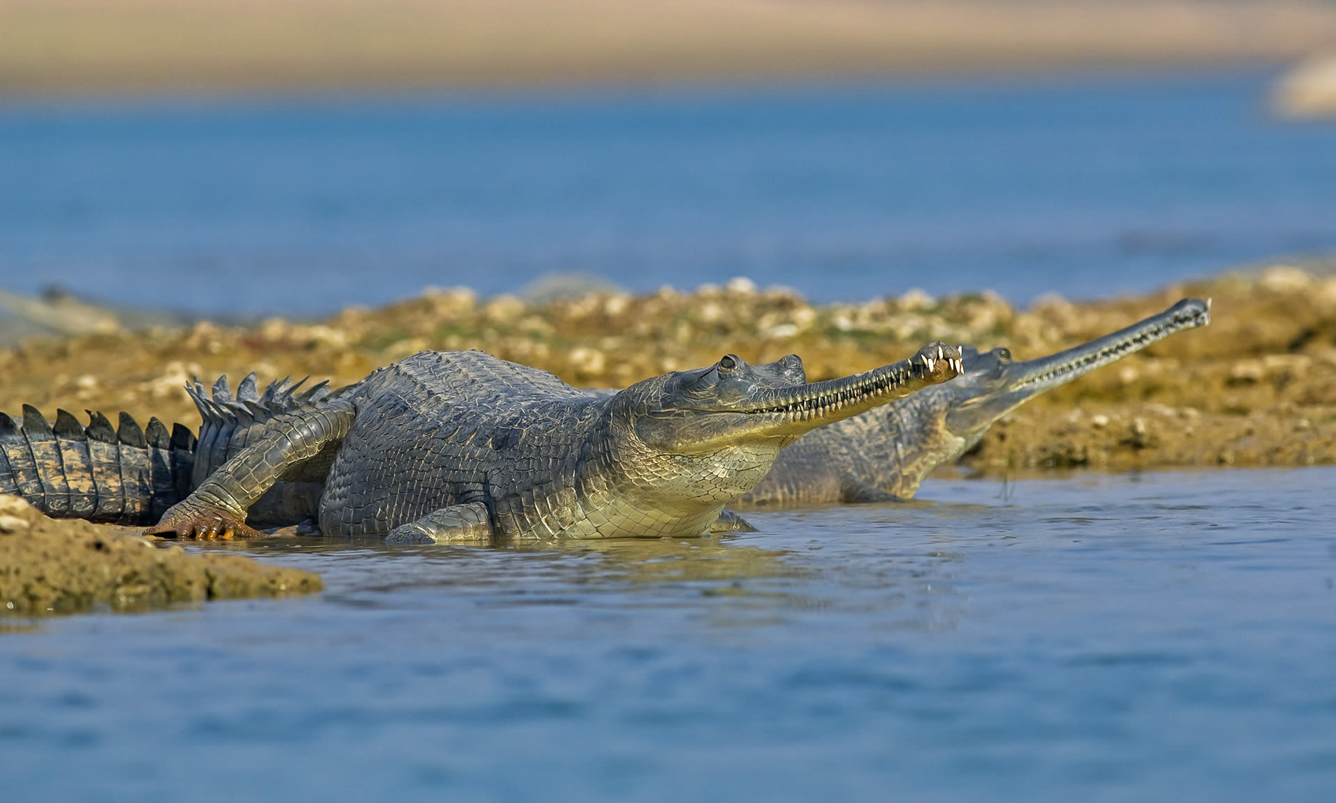 Gharials live in rivers and leave the water only to nest or bask in the sun (as seen here along the banks of Chambal River).  Photo: Dhritiman Mukherjee  Cover photo: Every winter, flamingos flock, feed, and breed by the thousands at Gujarat's Little Rann of Kutch.  Cover photo: Dhritiman Mukherjee