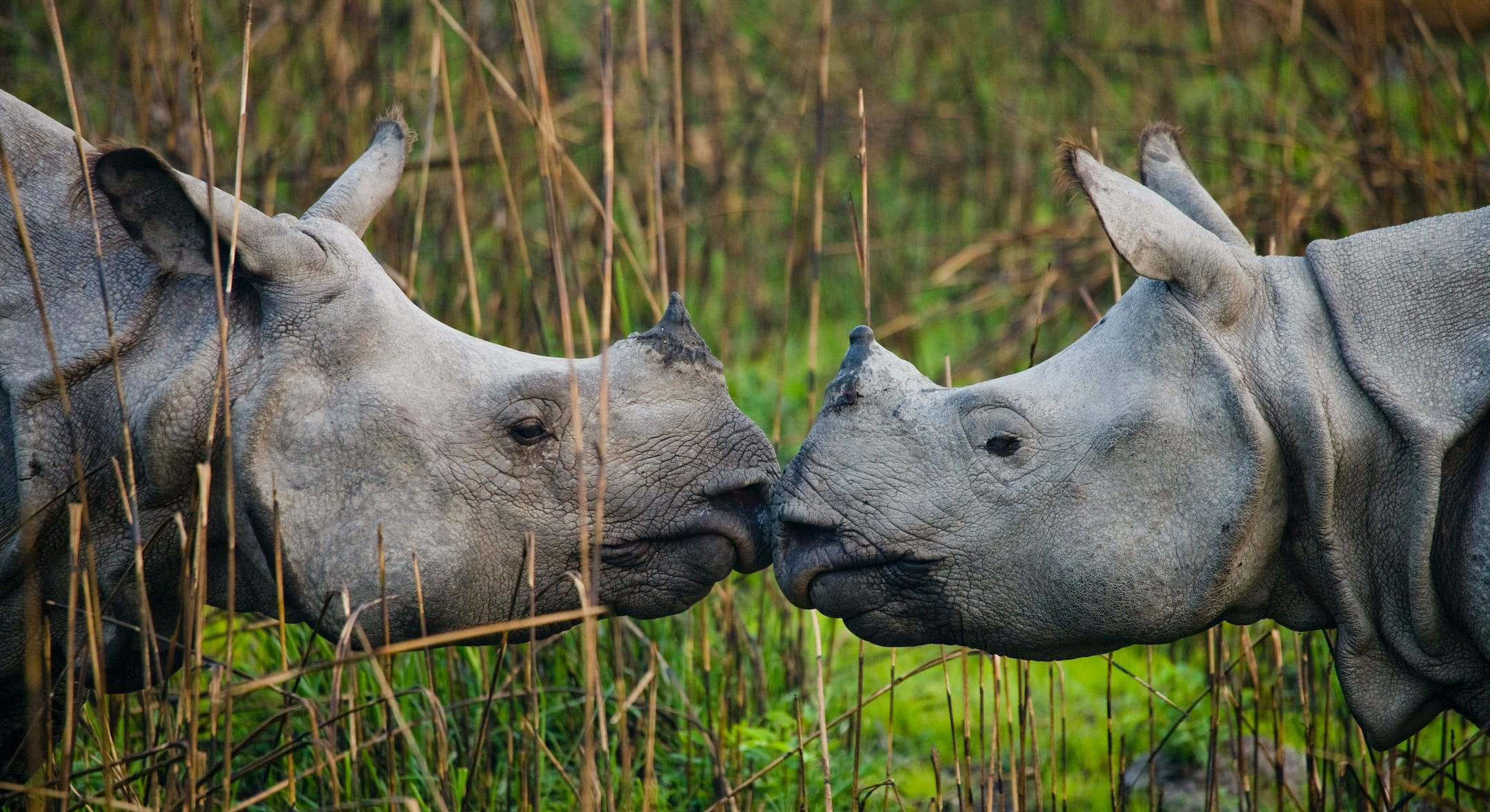 Though the Indian rhinoceros is primarily a solitary animal, there are exceptions: females with their young and breeding pairs. Sometimes a few rhinos may wallow in a swamp, or graze, or rest together as well, though eventually going off on their own. Photo: GUDKOV ANDREY/Shutterstock