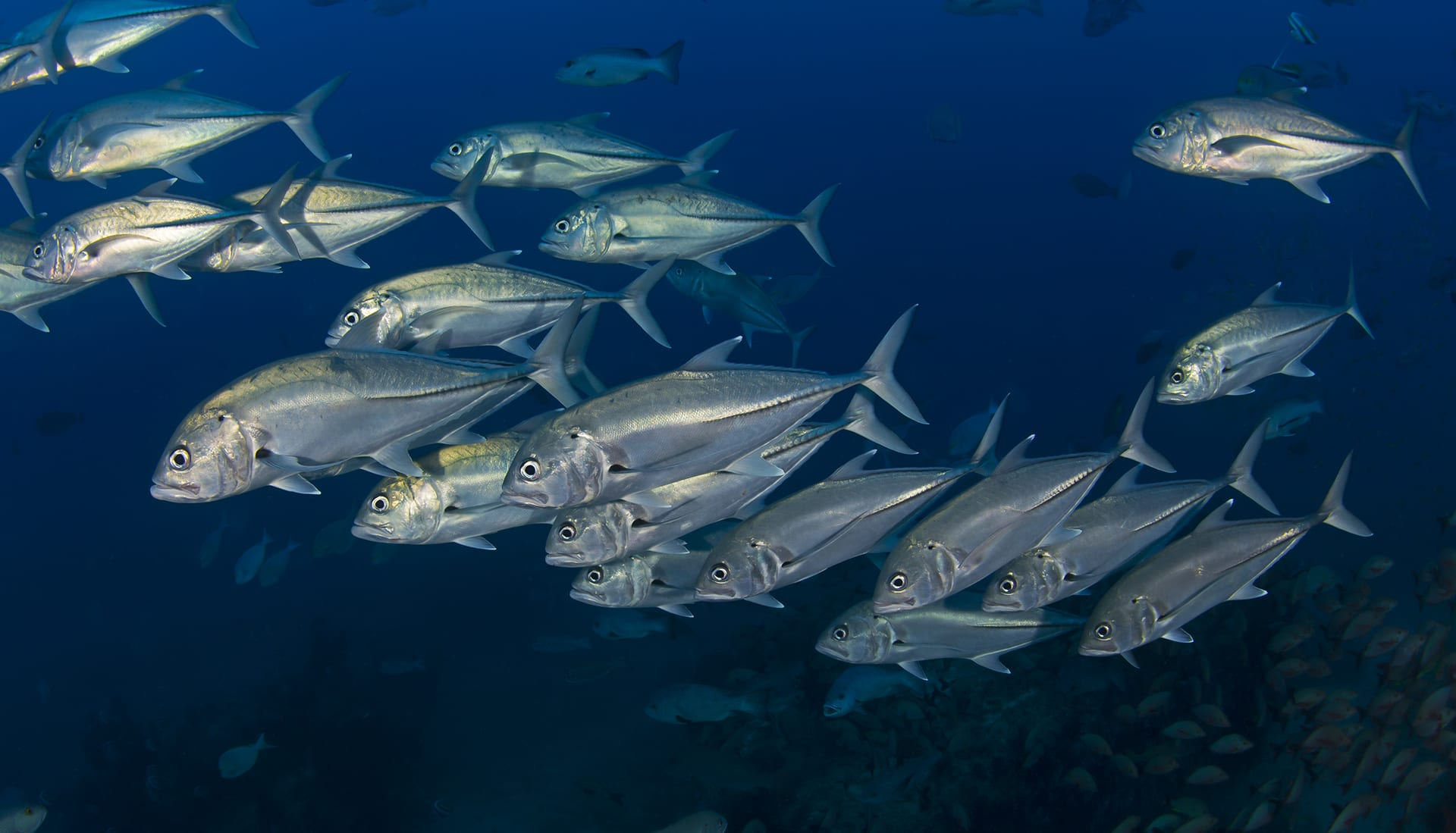 Hunting for fish in a school puts a predator's skills to the test. Imagine a sniper looking through the rifle scope trying to aim for one target in a rapidly moving, crowded sea of heads, tails, and fins. While schooling drops the risk of being found and eaten, it is also an advantageous strategy for predators. Predatory fishes have also figured out that schooling together, uniting their eyes and using them to hunt cooperatively, in exchange for splitting the harvest, can help them solve the problem of being outnumbered. Big-eye trevallies (seen here) form cooperative hunting parties to catch fusiliers, anchovies, and other forage fish in the Andamans. That is the beauty of coevolution, and the equilibrium between predator-prey, be it wildebeests and lions on land or anchovies and jacks in the ocean.