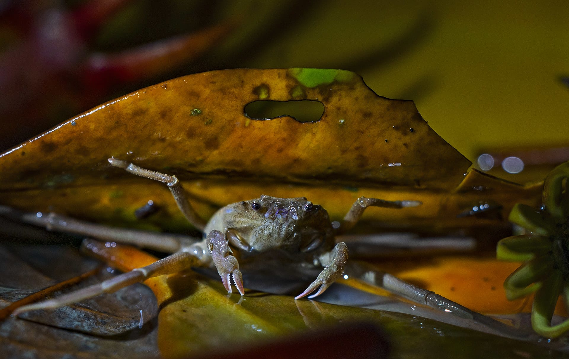 Crabs are essential to the mangrove ecosystem. They are responsible for aerating the soil, reshuffling layers of clay and sediment, and helping nutrient transfer among those layers. Because of these contributions, they are often called ecosystem engineers. Additionally, they are efficient burrowers who pierce holes and aerate the compact oxygen-starved soil, benefitting the mangroves as well.