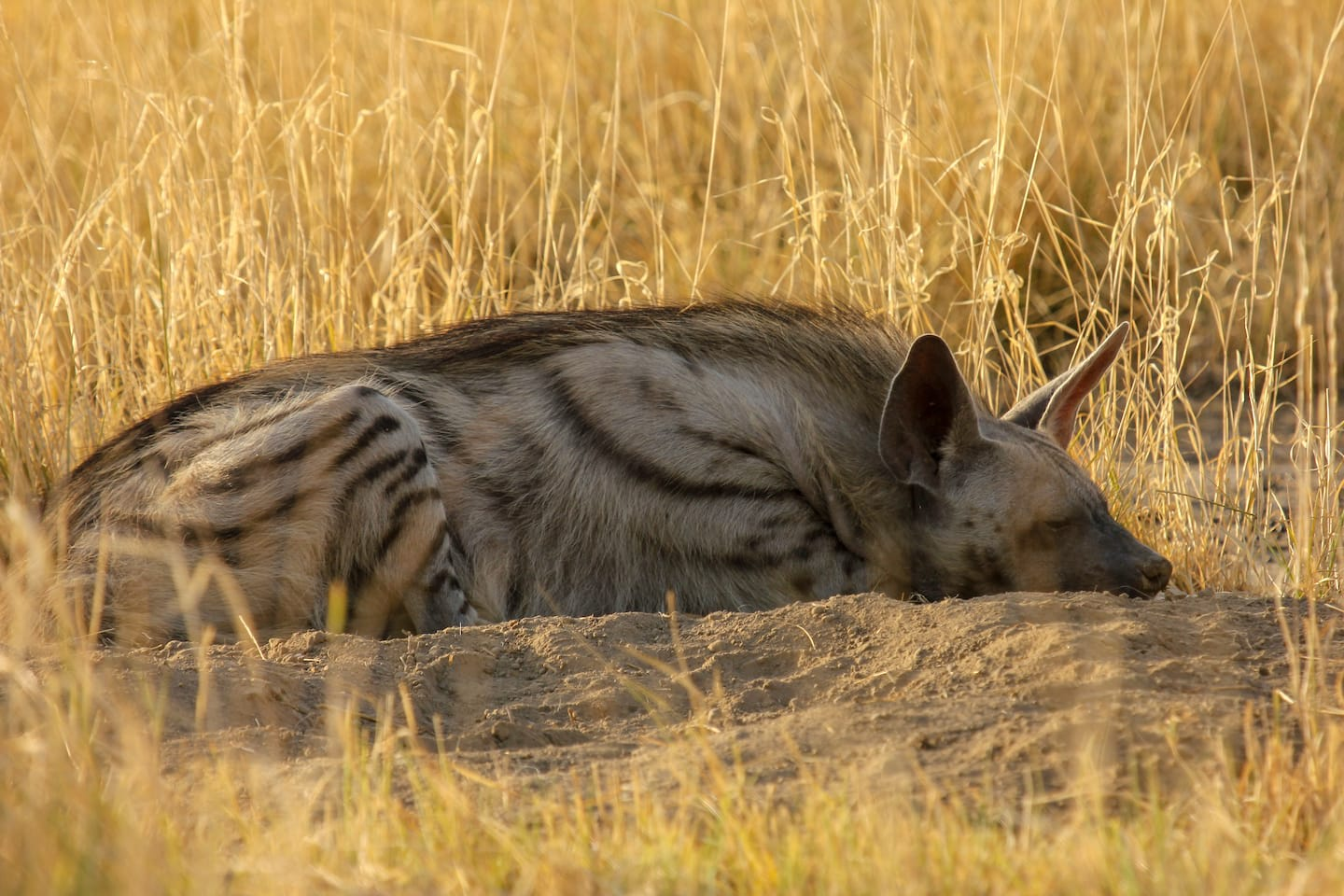 The striped hyena is a nocturnal scavenger and hunter. During the day it usually stays hidden or rests — like this striped hyena that is basking in the morning sun outside its burrow. Photo: Vickey Chauhan/Shutterstock